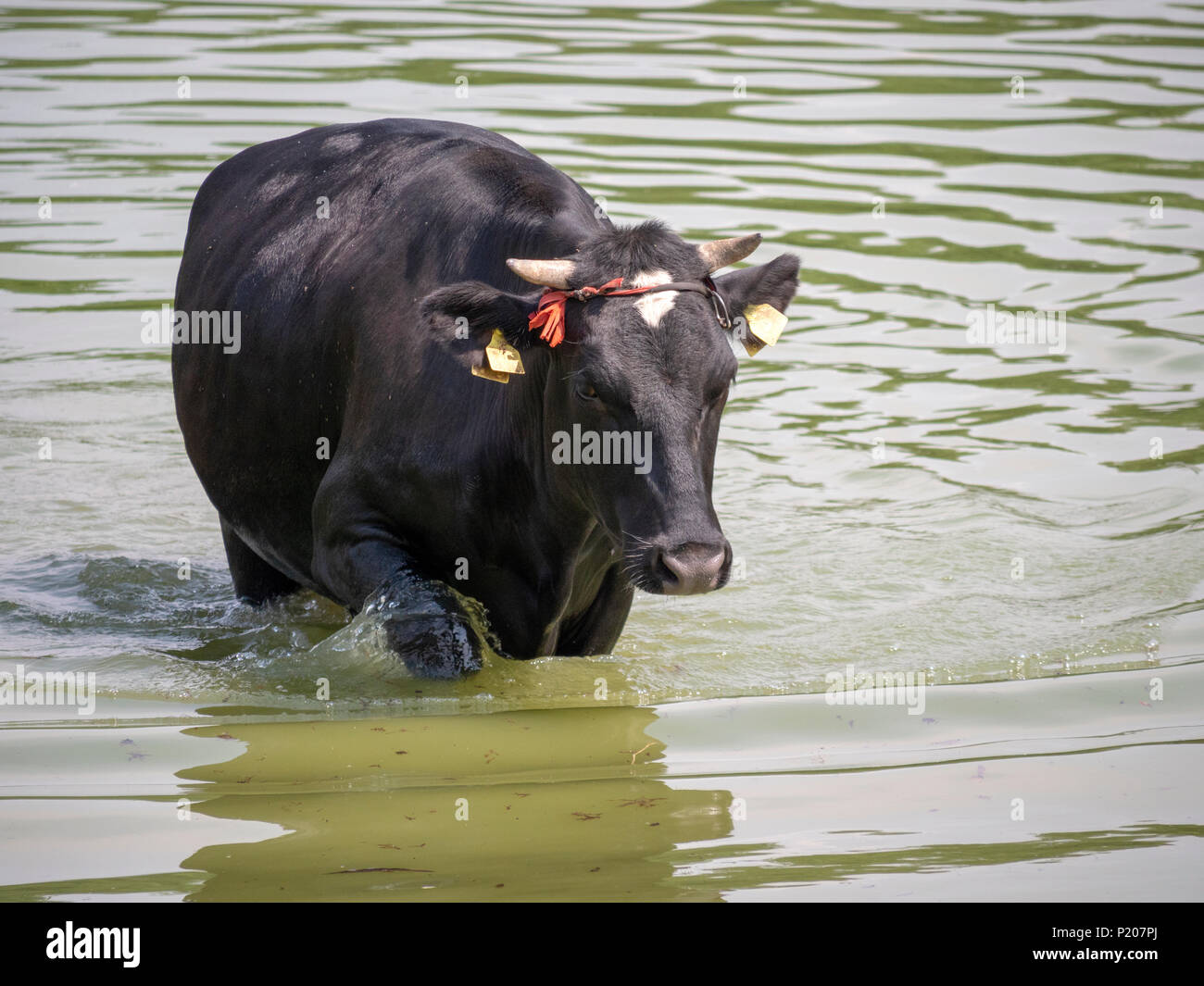 Cows resting in water on a hot sunny day - Stock Image