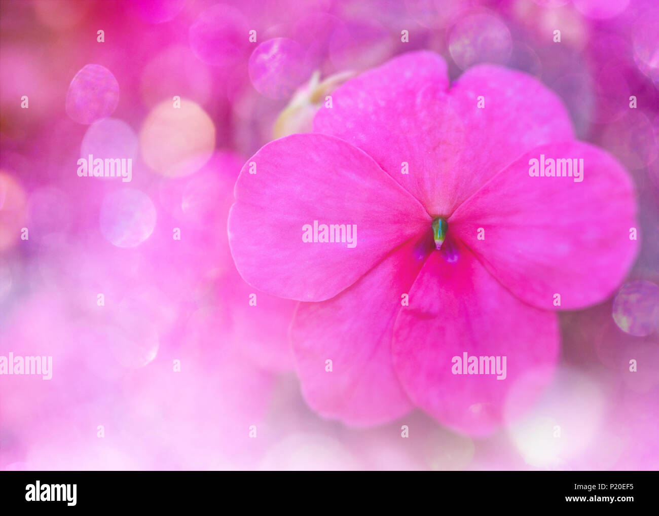 Colourful Glitter Bokeh And Blur Soft Focus Of Pink Impatiens