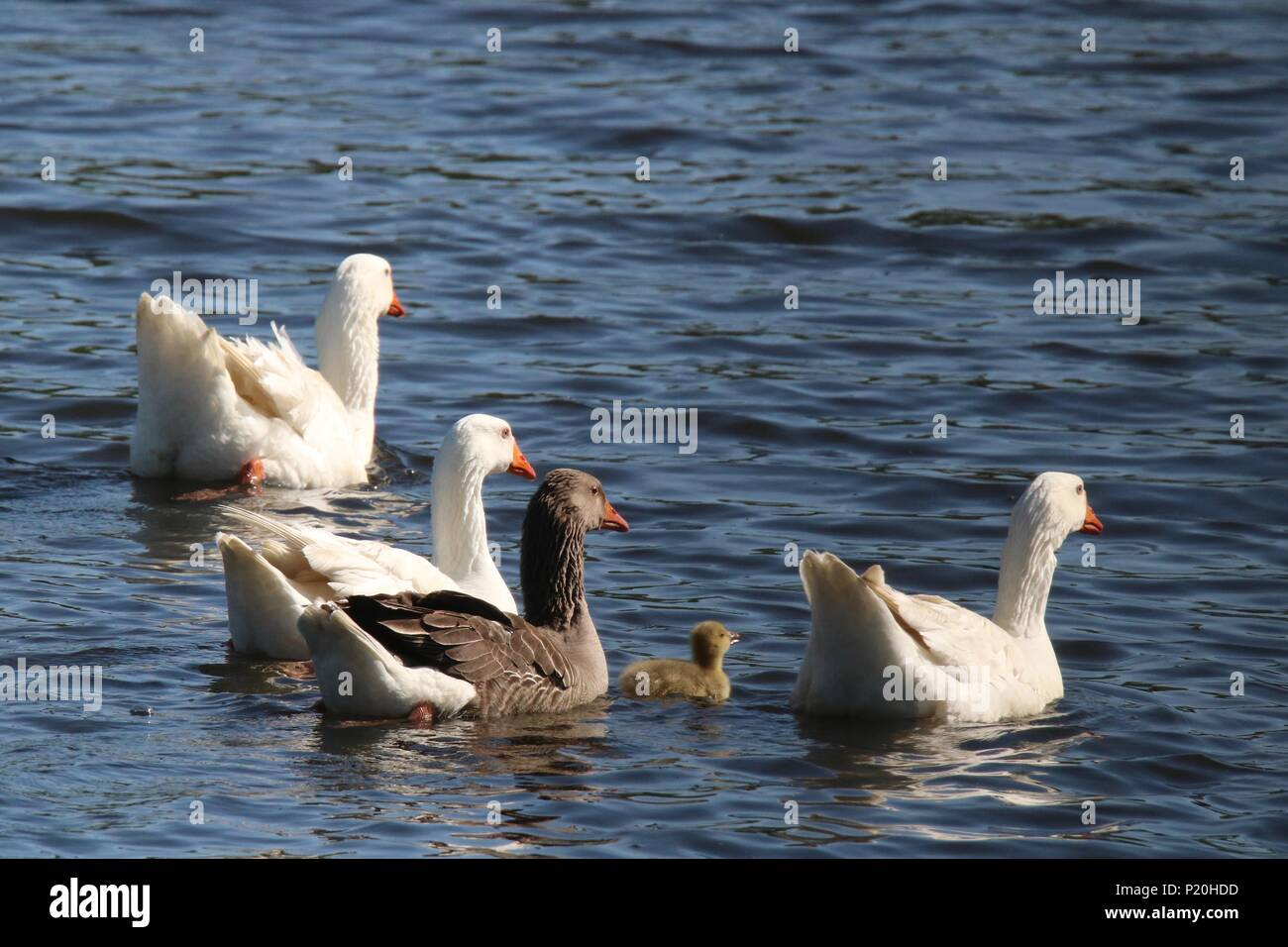 A flock of geese swimming on a pond together and protecting a little gosling - Stock Image