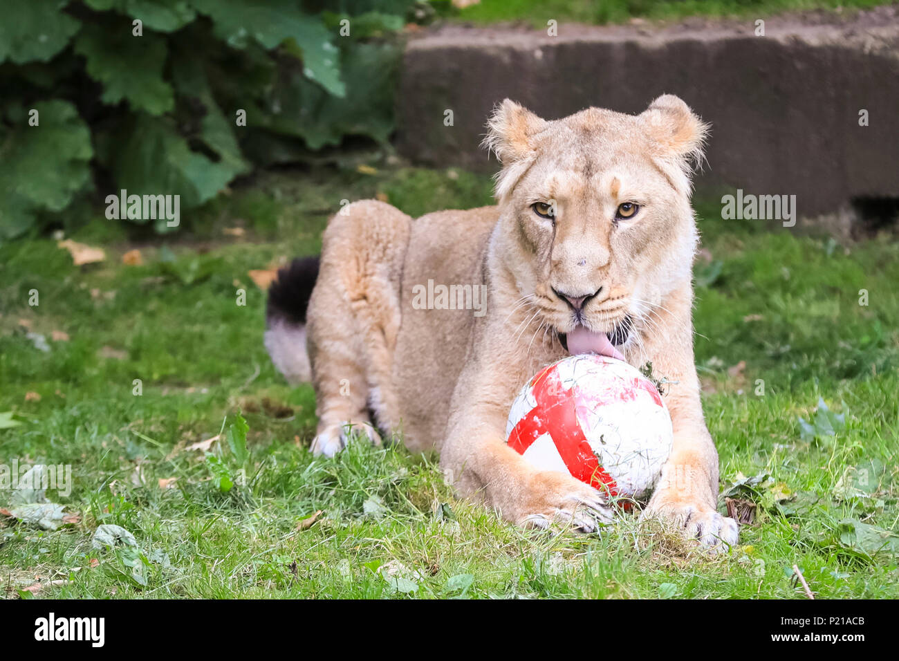 ZSL London Zoo, London, UK, 14th June 2018. Heidi shows her ball tackling skills. ZSL London Zoo's own three lions, Asiatic lion sisters Heidi, Indi and Rubi, show their support for England by practising their football skills ahead of the team's opening World Cup match in Russia. The three-a-side pride kicks off the day in the Land of Lions with their own football, an enrichment designed to encourage their natural skills and decorated with the England flag. Credit: Imageplotter News and Sports/Alamy Live News - Stock Image