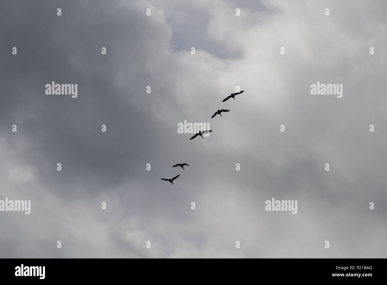 Canadian gees flying above five of them creating a formation  in the sky - Stock Image