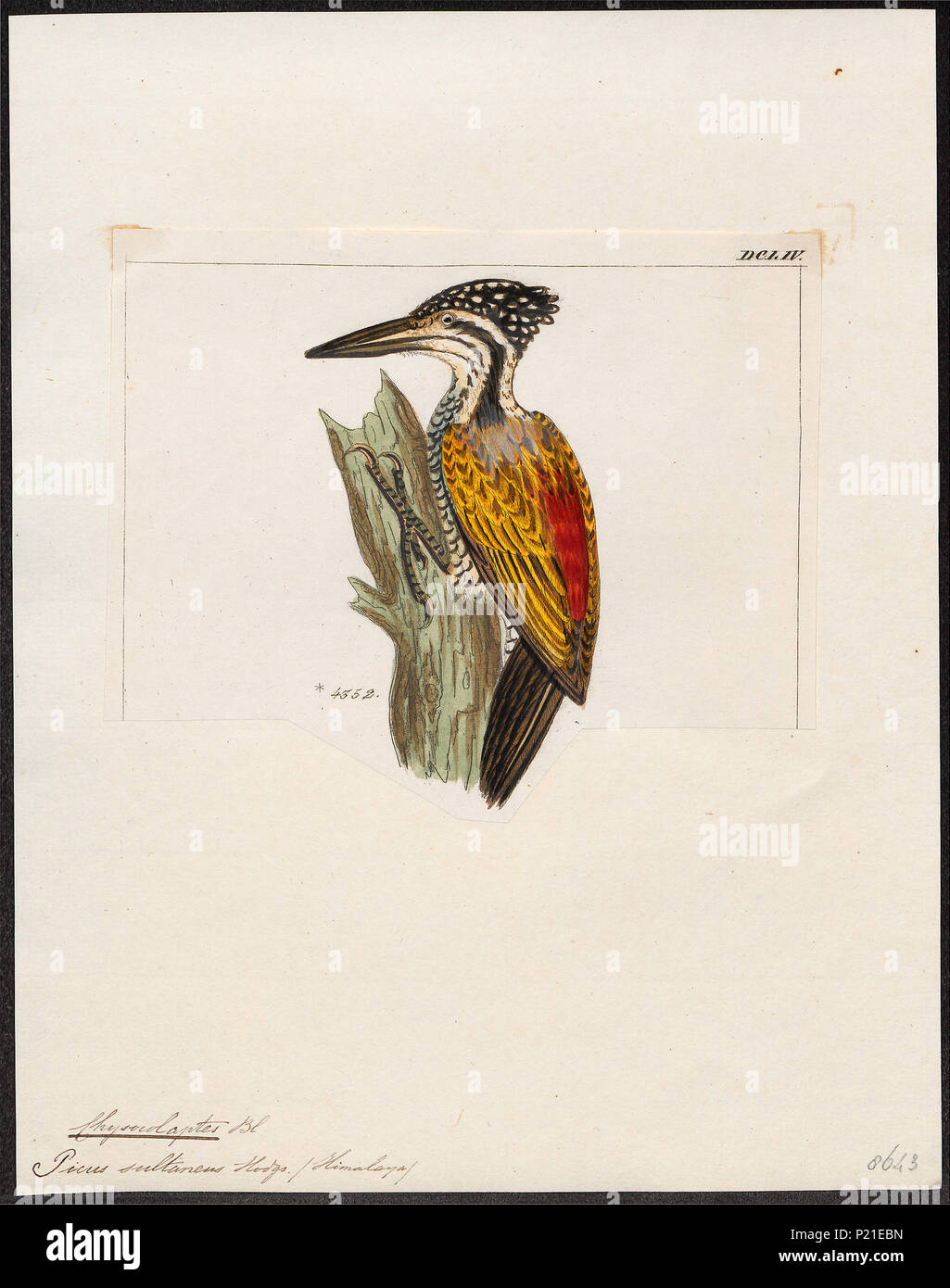 . Chrysocolaptes sultaneus . between 1820 and 1860 61 Chrysocolaptes sultaneus - 1820-1860 - Print - Iconographia Zoologica - Special Collections University of Amsterdam - UBA01 IZ18700169 - Stock Image
