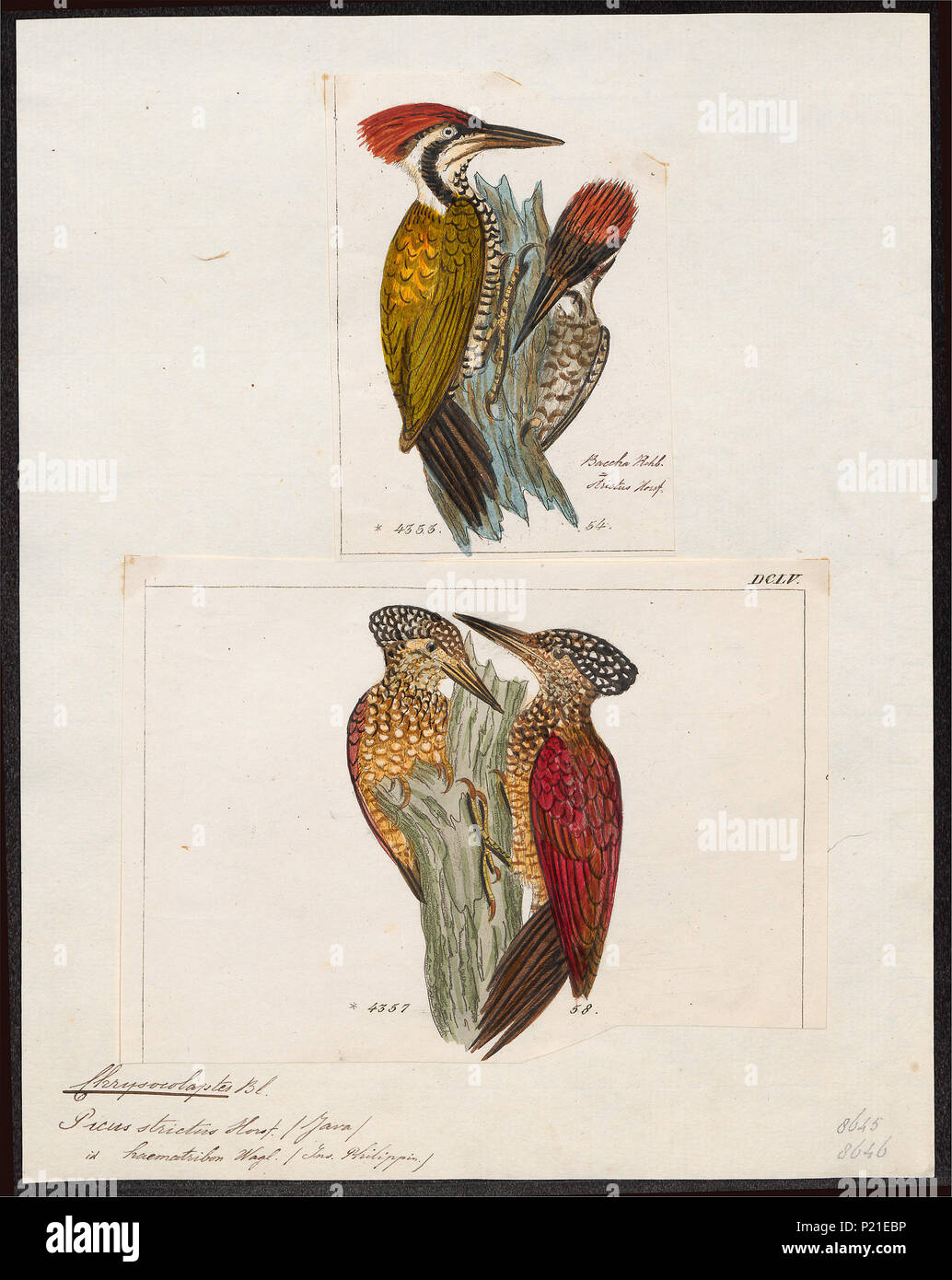 . Chrysocolaptes spec. between 1700 and 1880 61 Chrysocolaptes spec. - 1700-1880 - Print - Iconographia Zoologica - Special Collections University of Amsterdam - UBA01 IZ18700171 - Stock Image