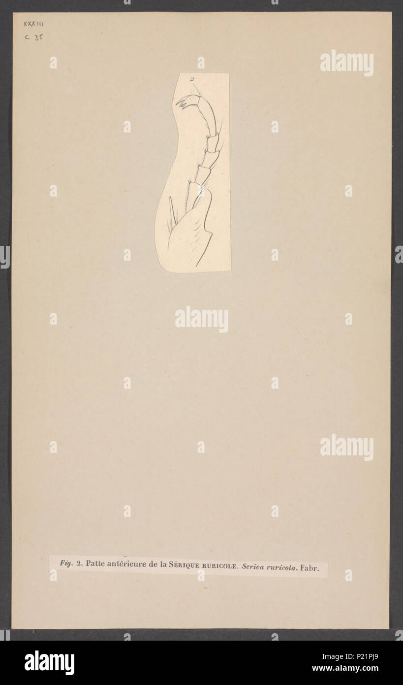 287 Serica - Print - Iconographia Zoologica - Special Collections University of Amsterdam - UBAINV0274 001 05 0042 - Stock Image