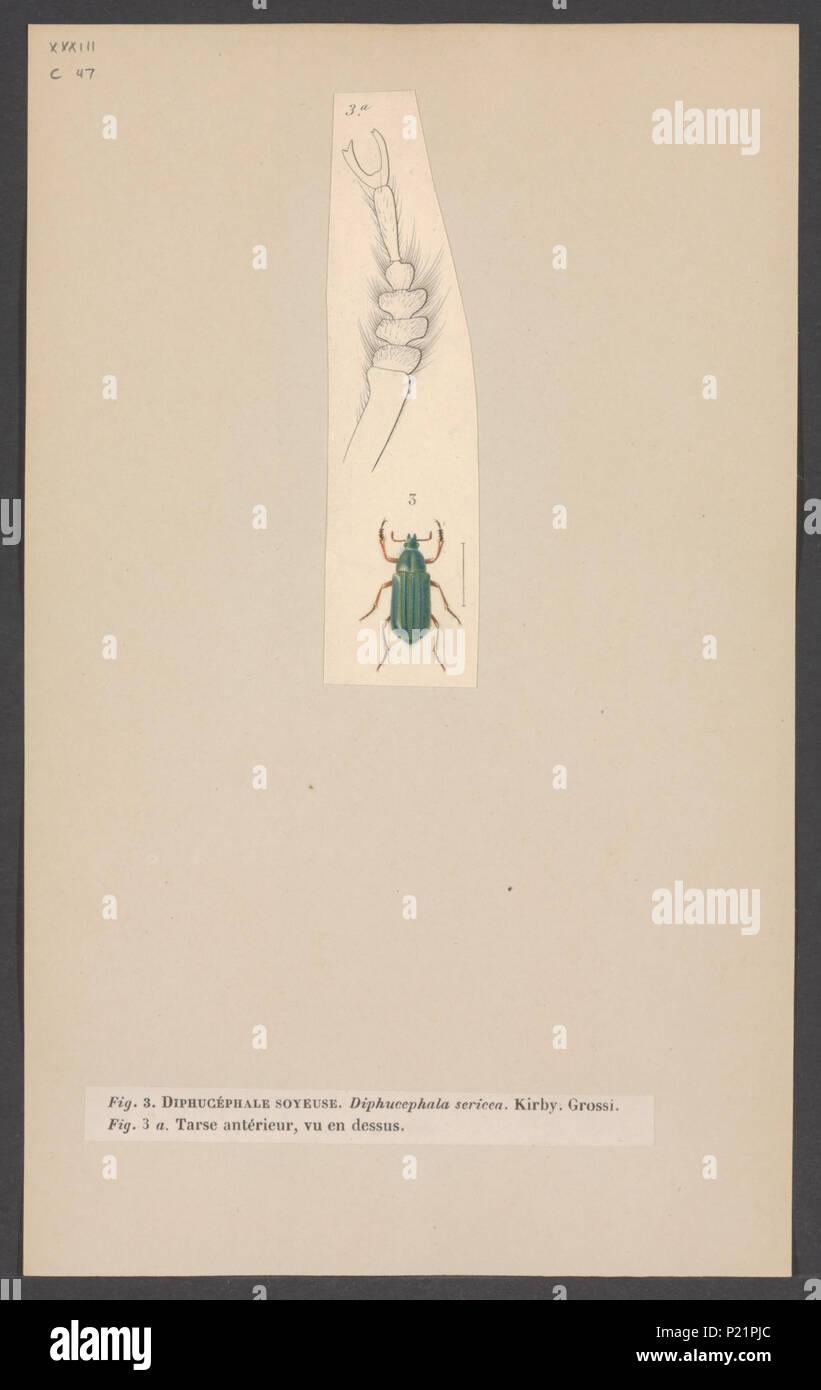 . Diphucephala  83 Diphucephala - Print - Iconographia Zoologica - Special Collections University of Amsterdam - UBAINV0274 001 05 0043 - Stock Image