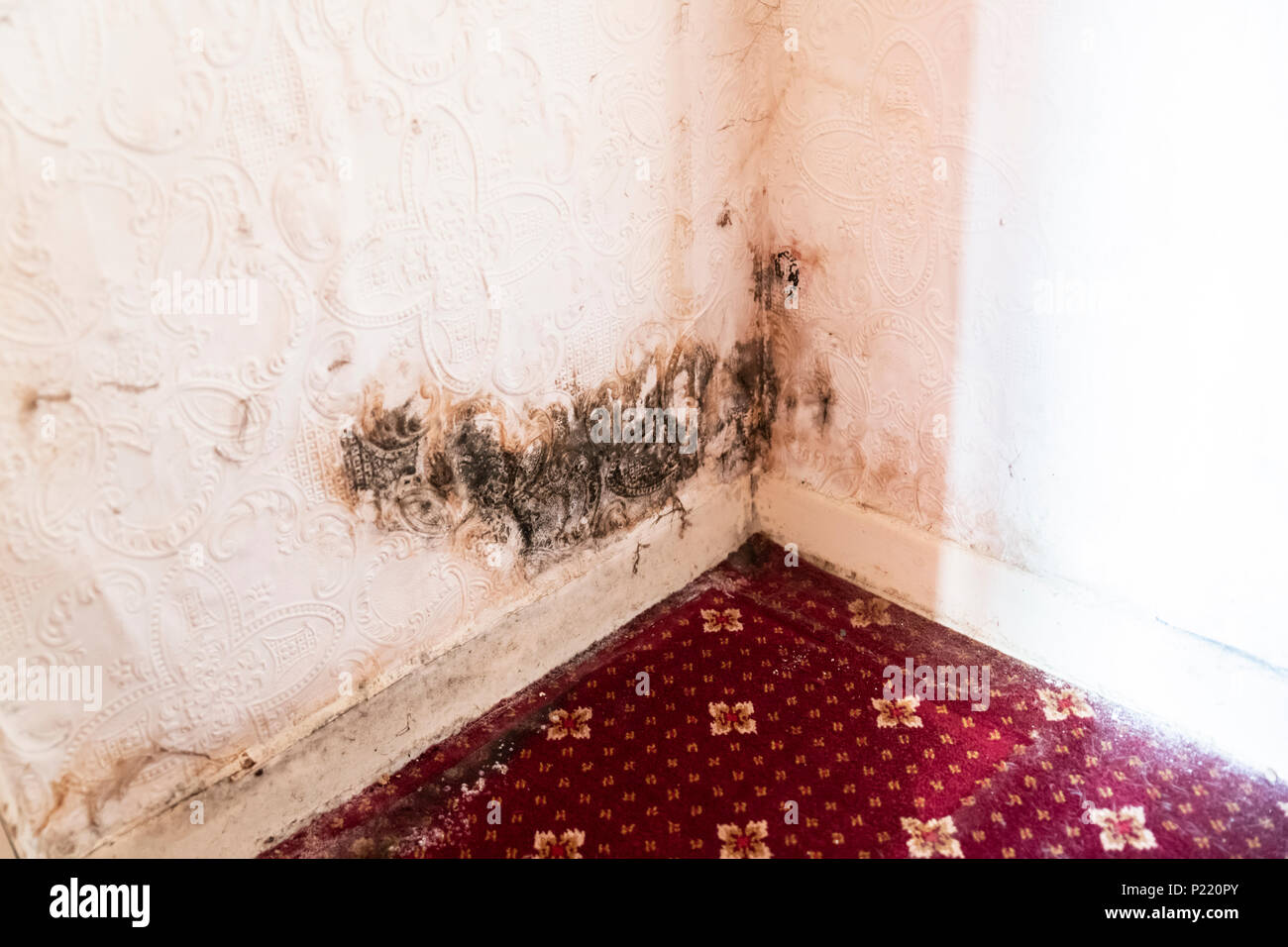 Rising damp causing mold in a corner - Stock Image