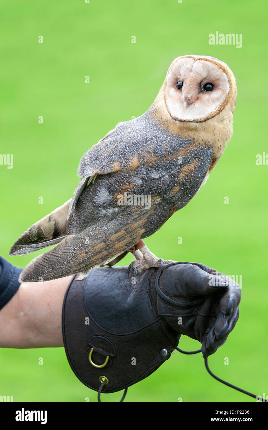 Portrait of a rescued barn owl perched on a leather falconry glove at a Bird of Prey centre - Stock Image