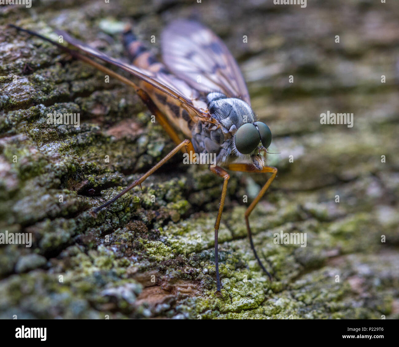 UK wildlife: A macro view of the compound eyes of a downlooker snipe fly (named because of its downward facing stance) - Stock Image