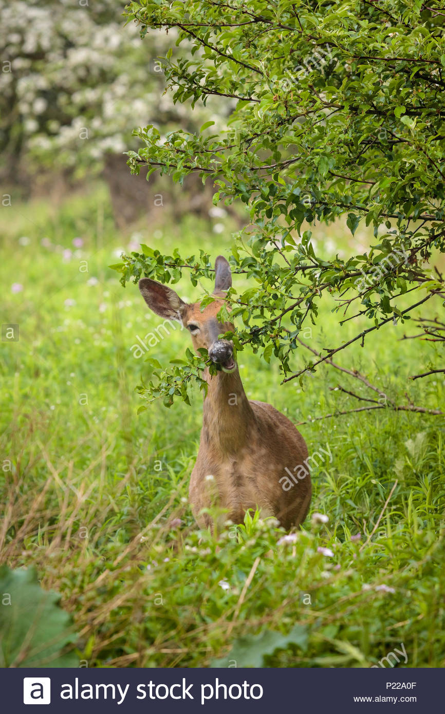 White-tailed deer Odocoileus virginianus browsing on tree leaves in Lynde Shores Conservation Area in Whitby Ontario Canada - Stock Image