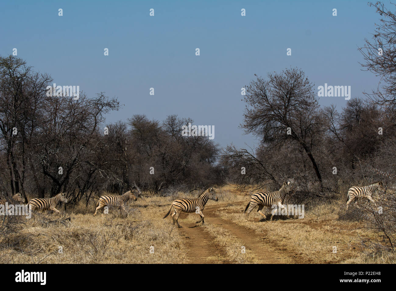 a line of 5 zebra cross a grass track road on safari in south africa Stock Photo