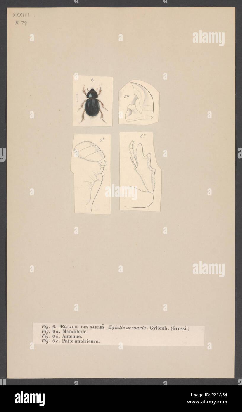 9 Aegialia - Print - Iconographia Zoologica - Special Collections University of Amsterdam - UBAINV0274 001 05 0019 - Stock Image