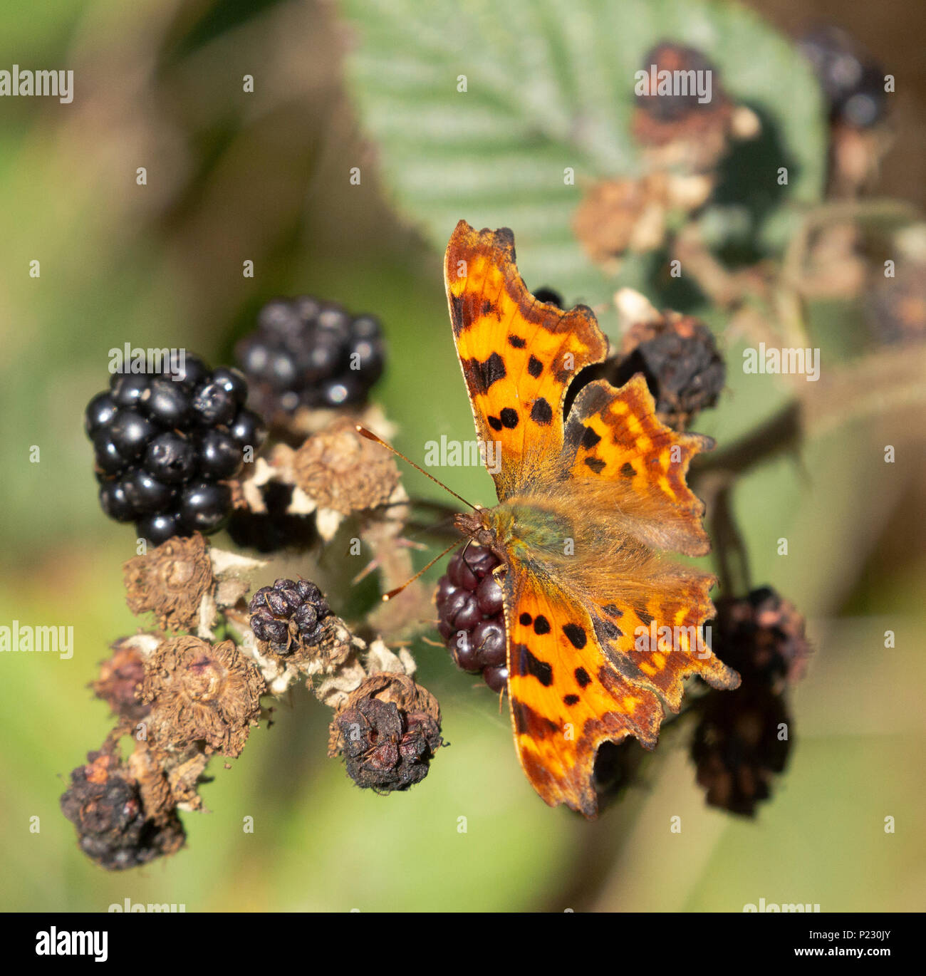 A Comma butterfly (UK) feeding on ripened blackberries. - Stock Image