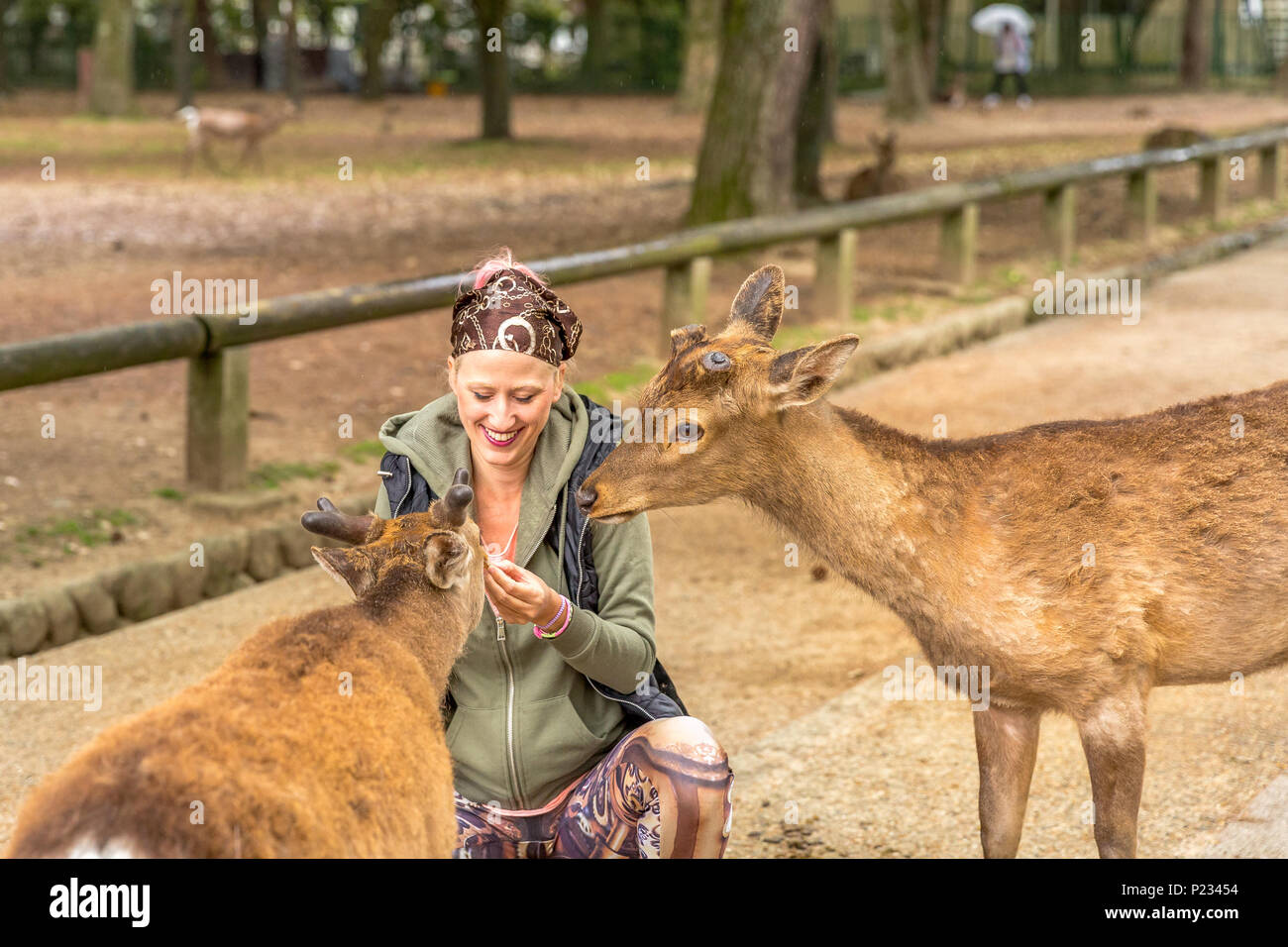 Two Nara deer harassing tourists for food in the park of Nara, Unesco Heritage town. Tourism and travel in Japan. - Stock Image