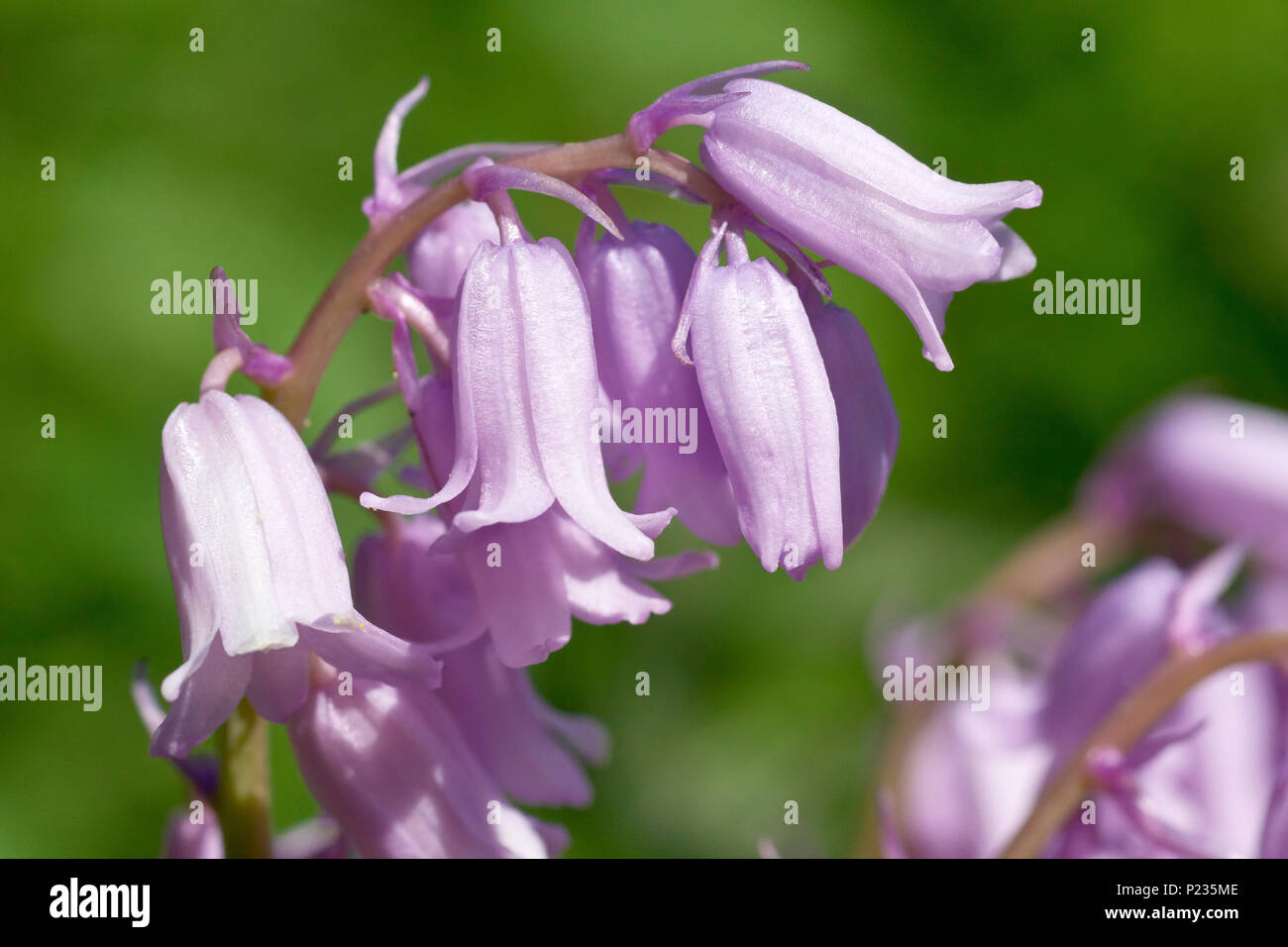 Bluebell (hyacinthoides non-scripta, also endymion non-scriptus), close up of a single flowering spike of the pink variety. - Stock Image