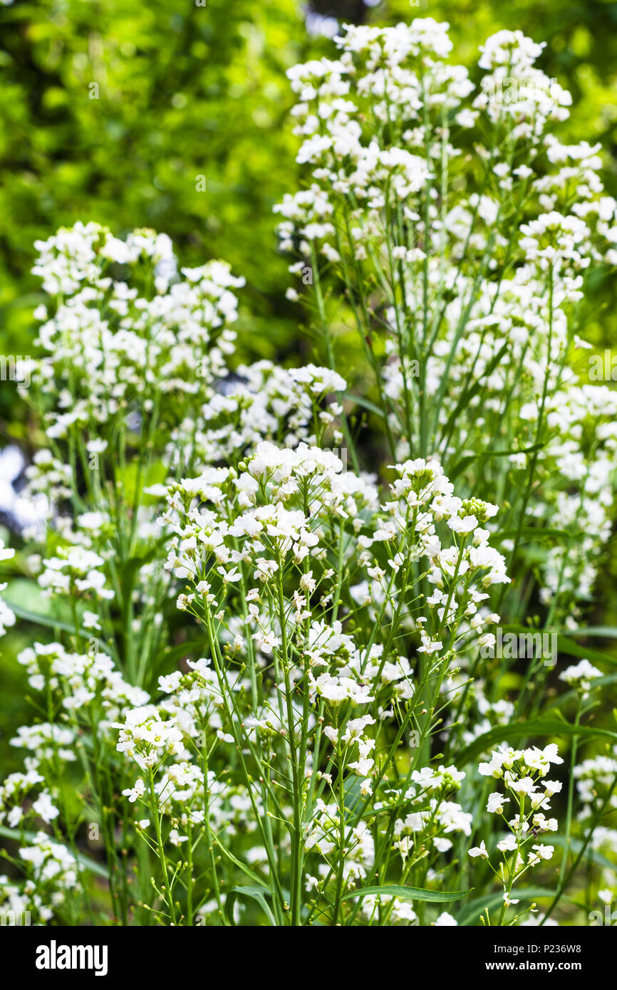 white flowers of horseradish (Armoracia Rusticana) plant in garden in summer day - Stock Image
