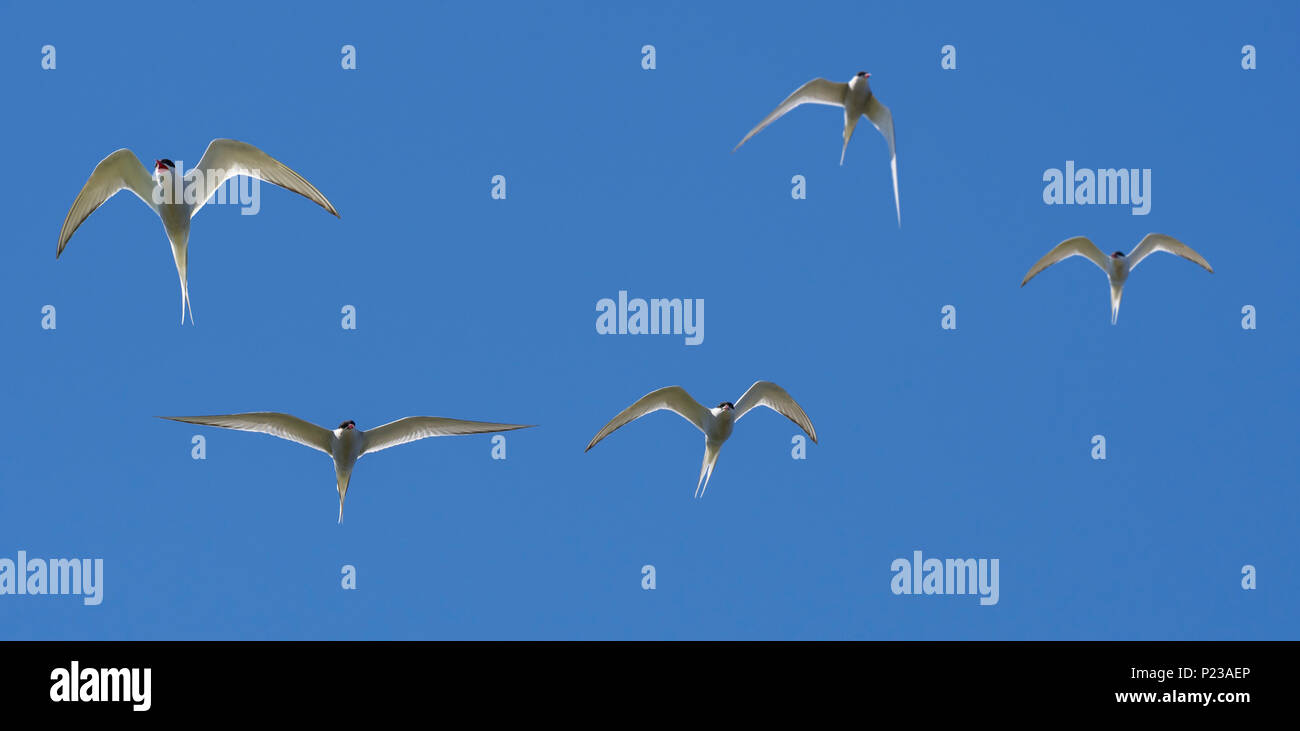 Flock of Arctic terns (Sterna paradisaea) in flight against blue sky - Stock Image