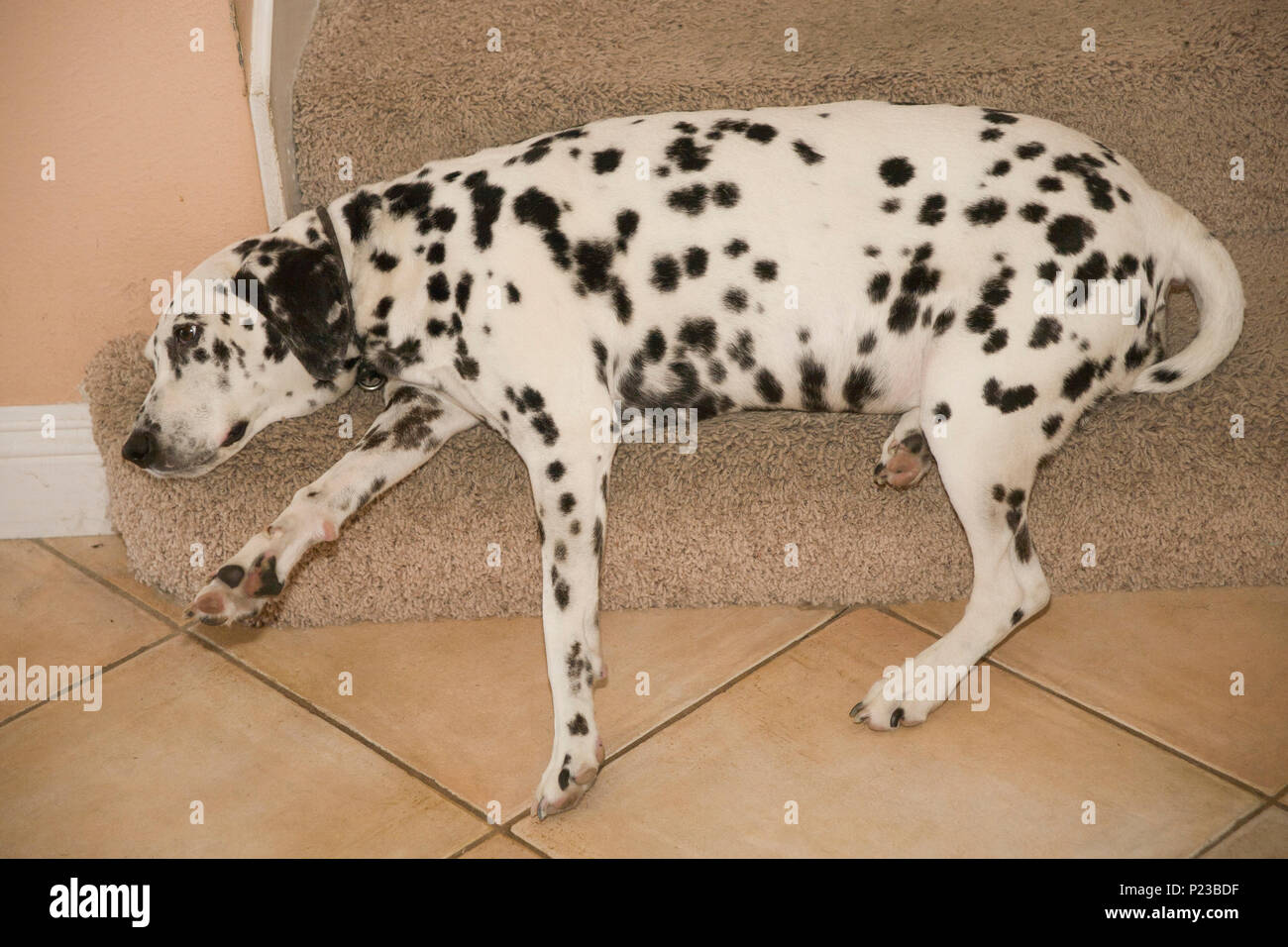 Series of 6 images Dalmatian dog resting on step carpeted stairway favorite place spot  pet animal   MR  © Myrleen Pearson - Stock Image
