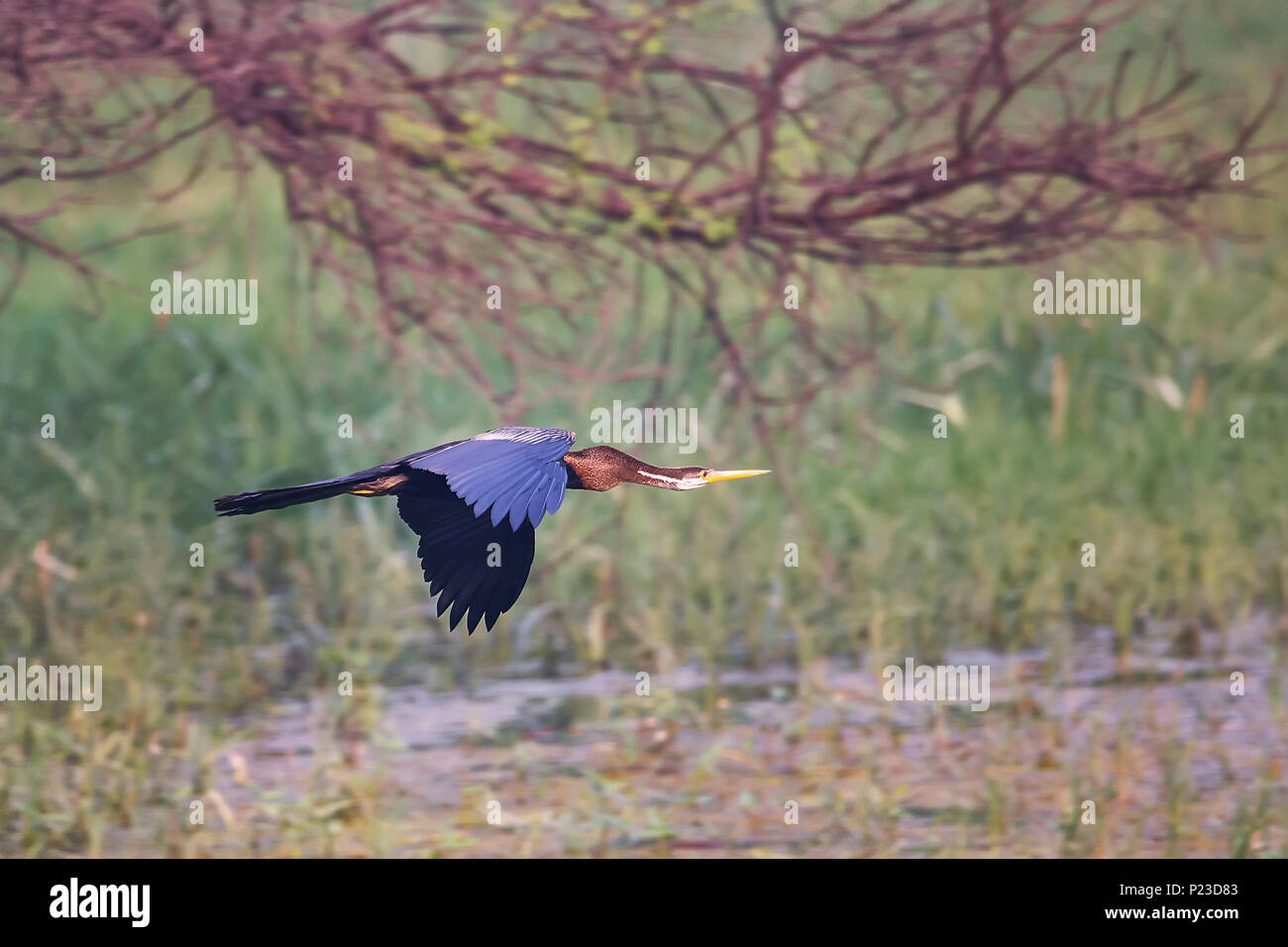 Oriental darter (Anhinga melanogaster) flying in Keoladeo Ghana National Park, Bharatpur, India. The park was declared a protected sanctuary in 1971. - Stock Image