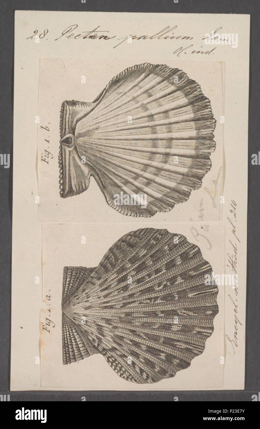 . Pecten pallium  219 Pecten pallium - - Print - Iconographia Zoologica - Special Collections University of Amsterdam - UBAINV0274 075 01 0036 - Stock Image