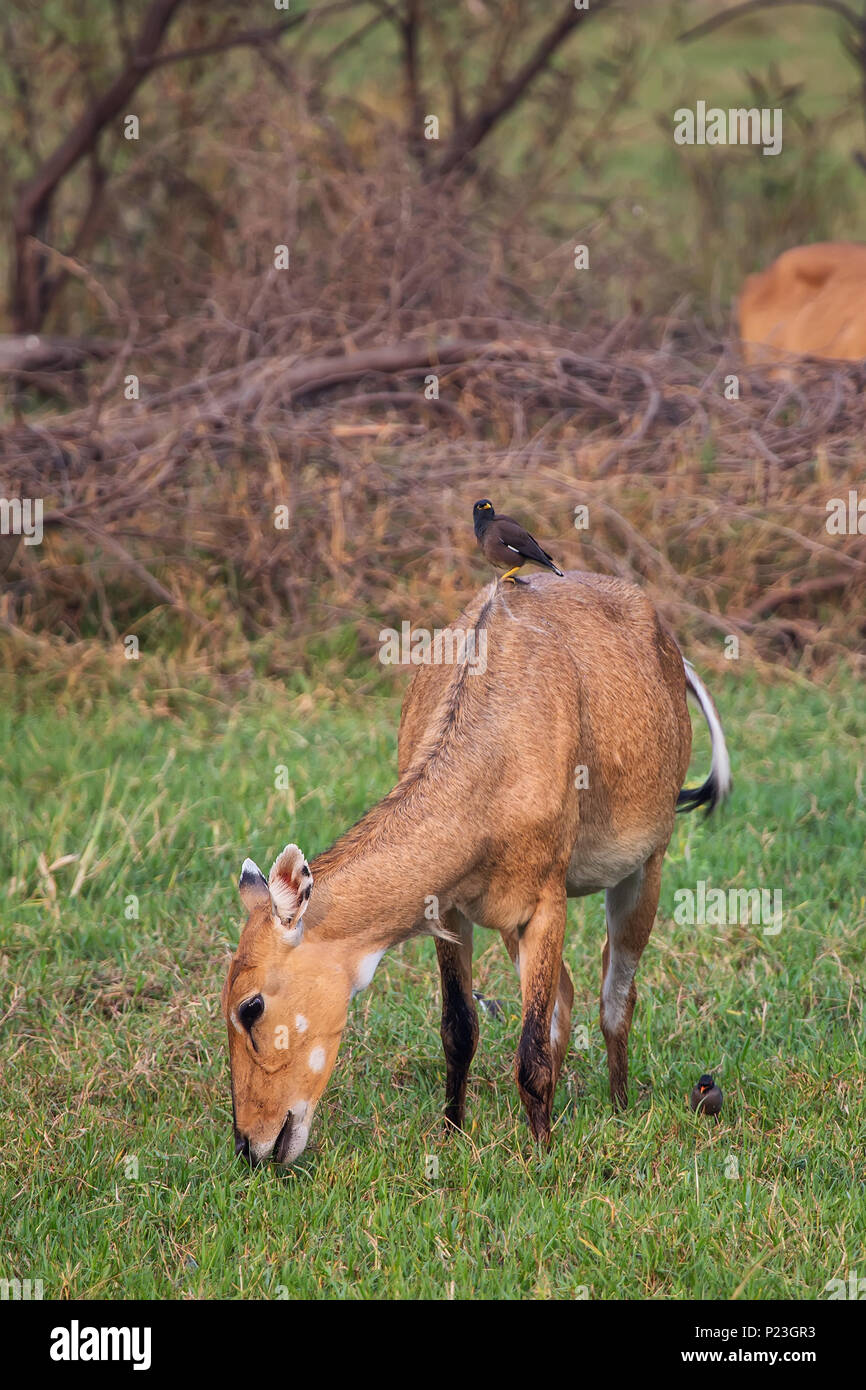 Female Nilgai with Brahminy myna sitting on her in Keoladeo National Park, Bharatpur, India. Nilgai is the largest Asian antelope and is endemic to th - Stock Image