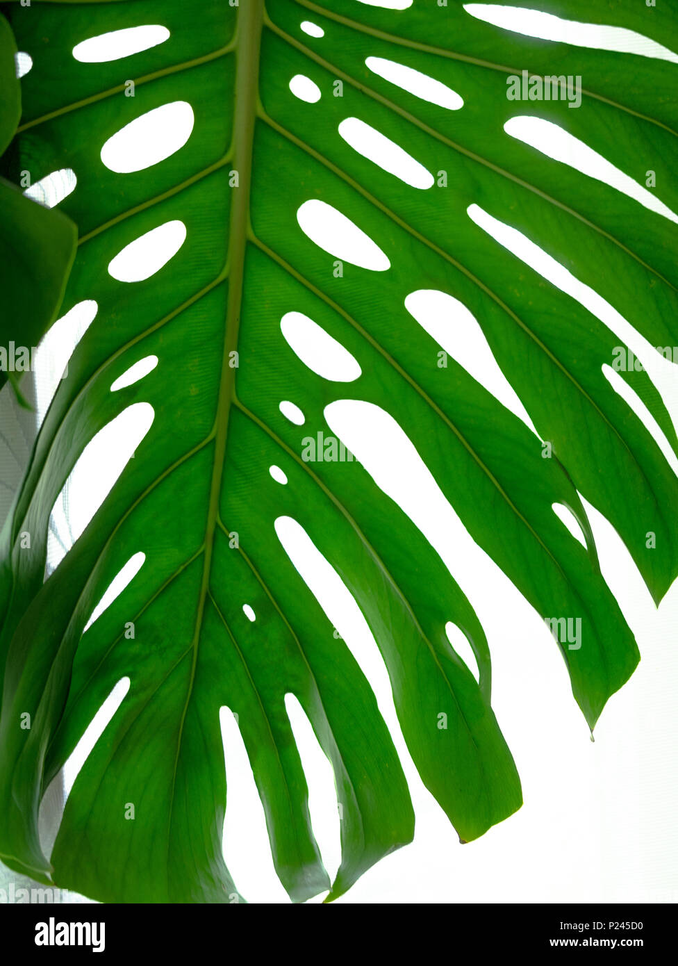 Real Tropical Leaves On White Backgrounds Botanical Nature Concepts Flat Lay Design Green Leaf Stock Photo Alamy The most common real leaf tropical material is metal. https www alamy com real tropical leaves on white backgroundsbotanical nature conceptsflat lay design green leaf image207845820 html