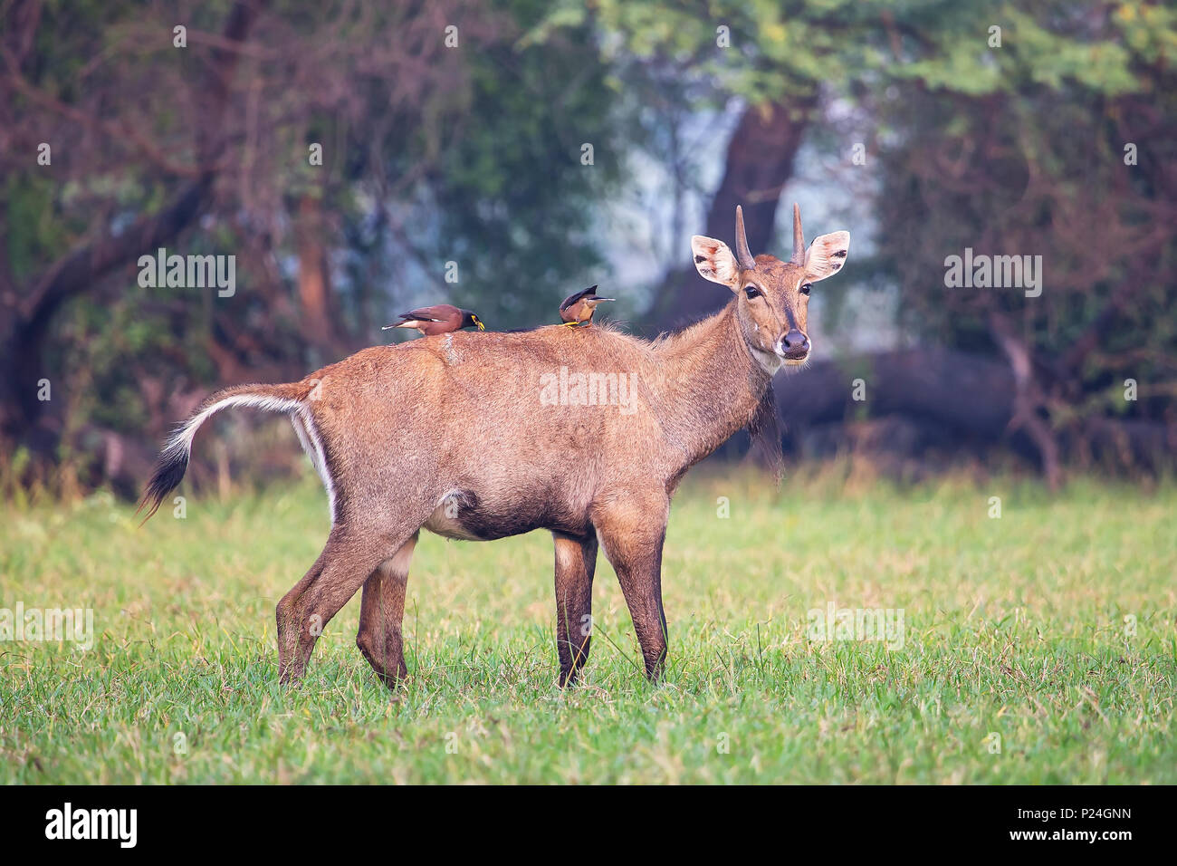 Male Nilgai with Brahminy mynas sitting on him in Keoladeo National Park, Bharatpur, India. Nilgai is the largest Asian antelope and is endemic to the Stock Photo