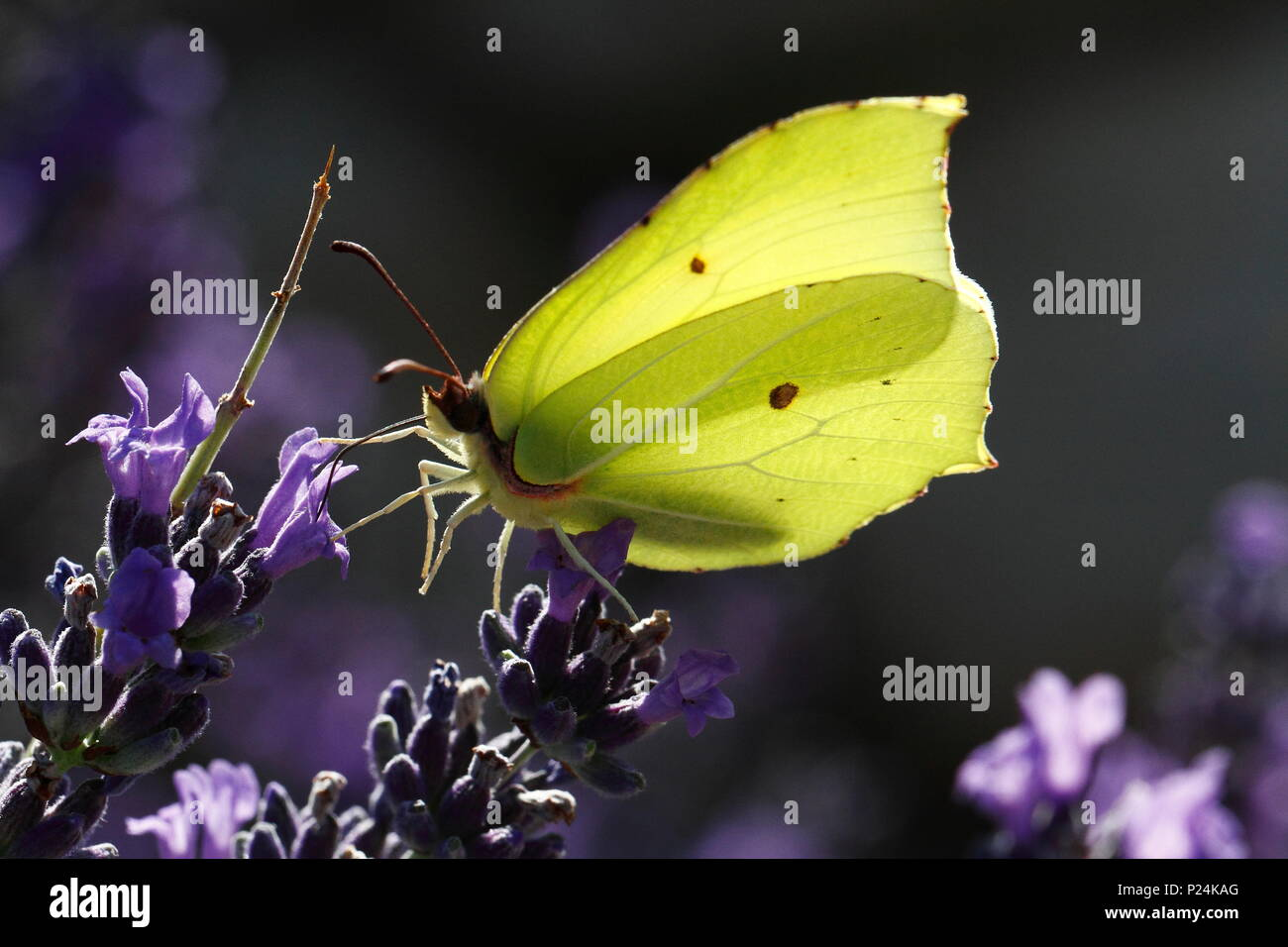 Common brimstone on a flower of lavender - Stock Image