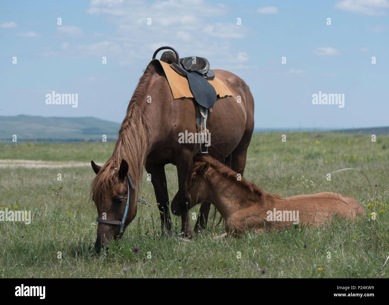 the bay horse with a foal who is grazed on a meadow - Stock Image