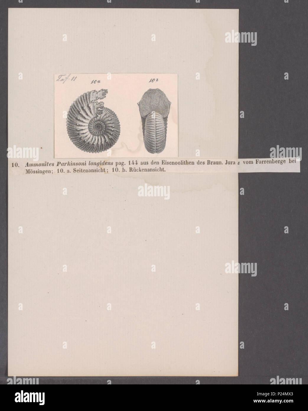. Ammonites parkinsoni longidens  16 Ammonites parkinsoni longidens - - Print - Iconographia Zoologica - Special Collections University of Amsterdam - UBAINV0274 091 01 0056 - Stock Image