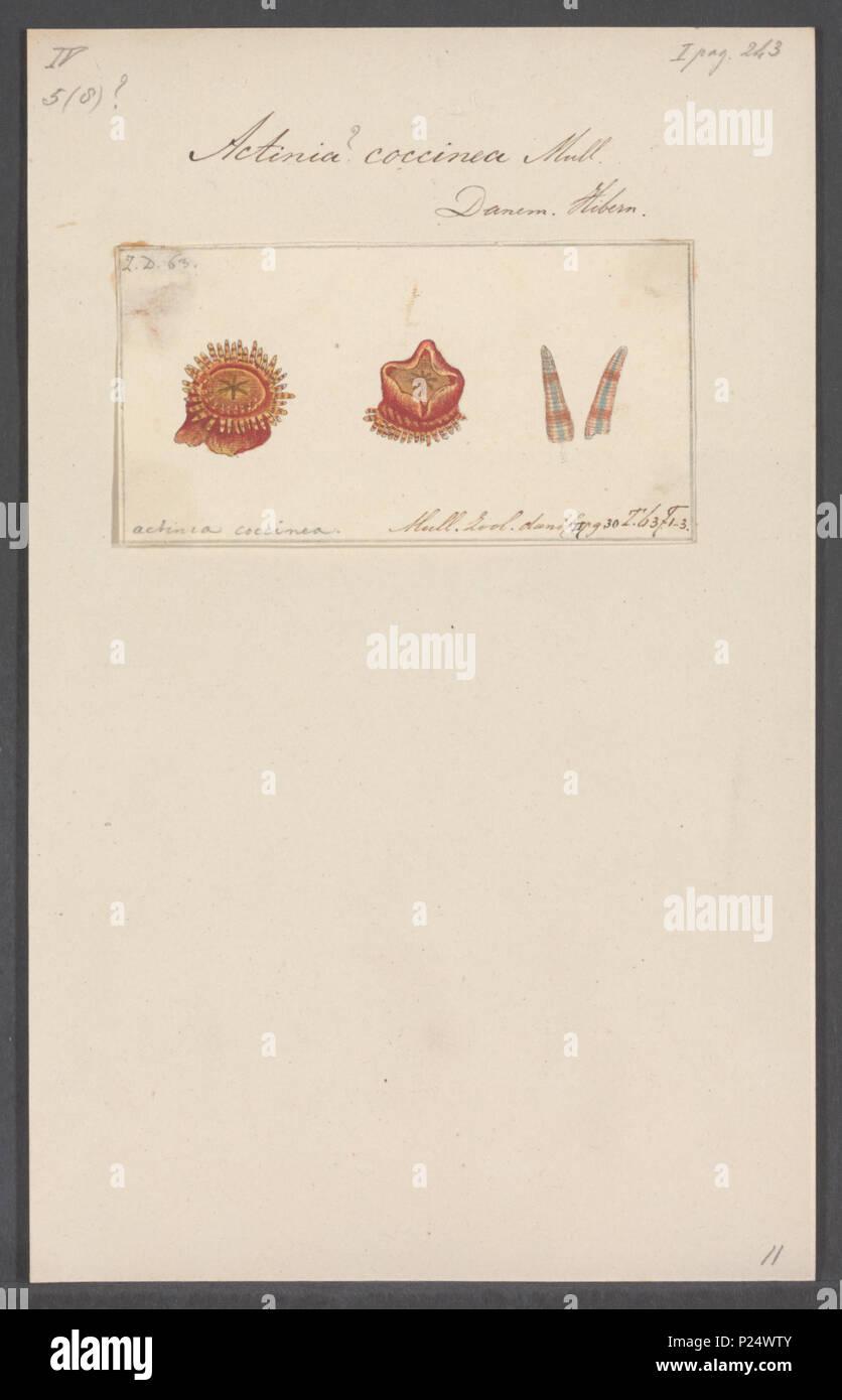 Stomphia Coccinea Mller 1776 Synonym Actinia 5