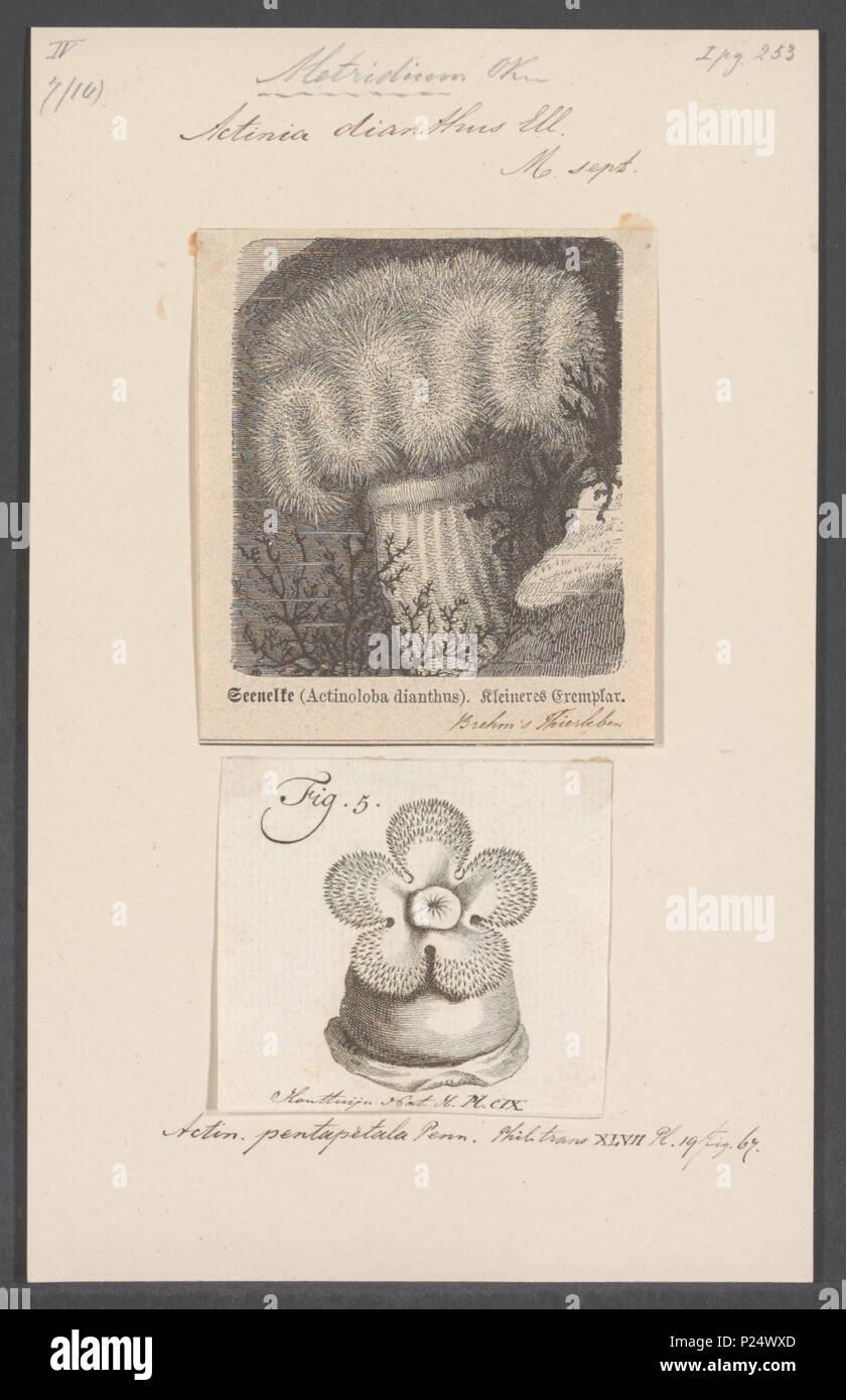Metridium Dianthus Ellis 1768 Synonym Actinia 5