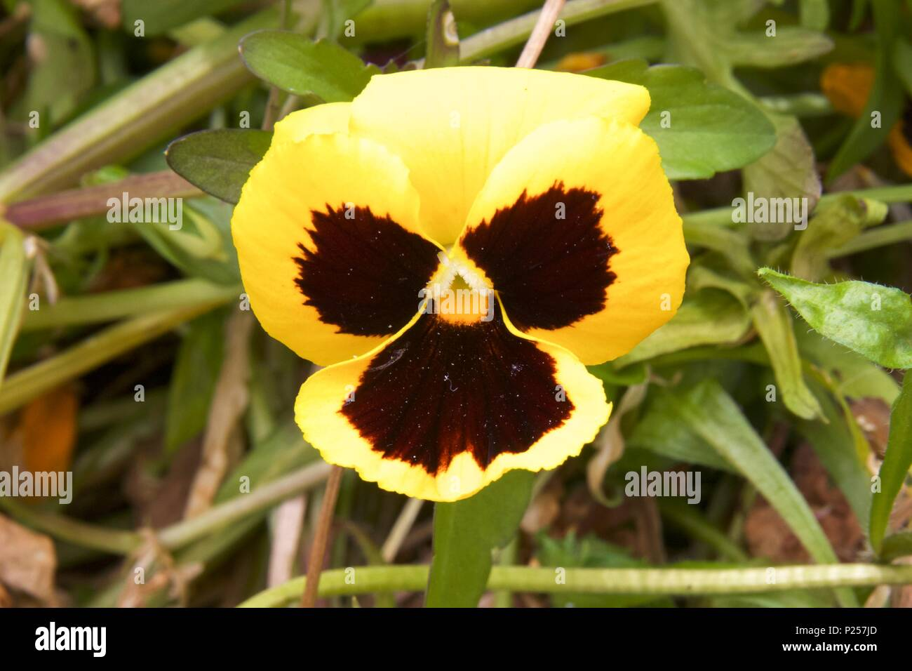 A yellow pansy, also known as viola x wittrockiana and viola tricolor hortensis, is a hybrid plant - Stock Image