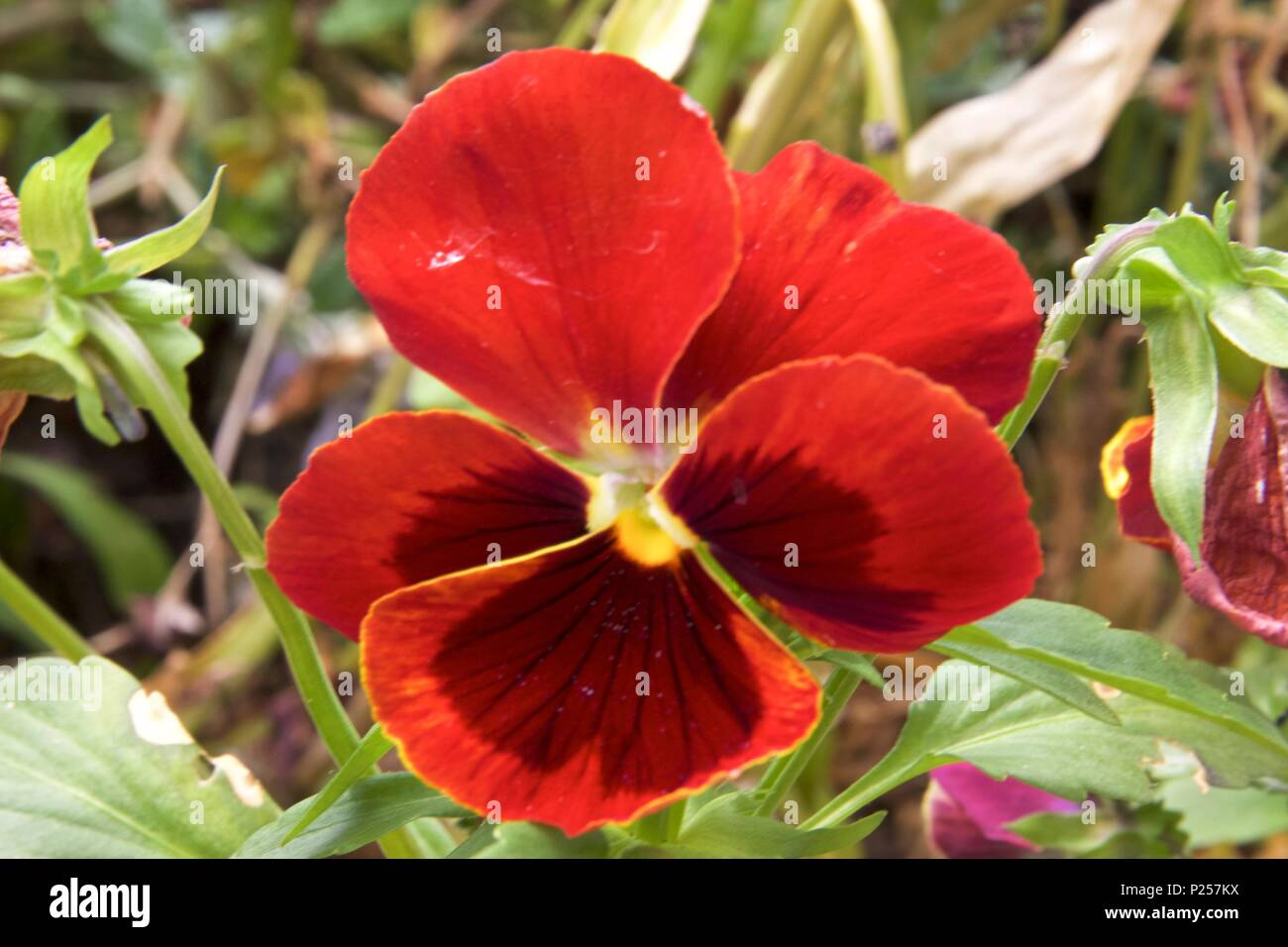 A red pansy, also known as viola x wittrockiana and viola tricolor, is a hybrid plant - Stock Image
