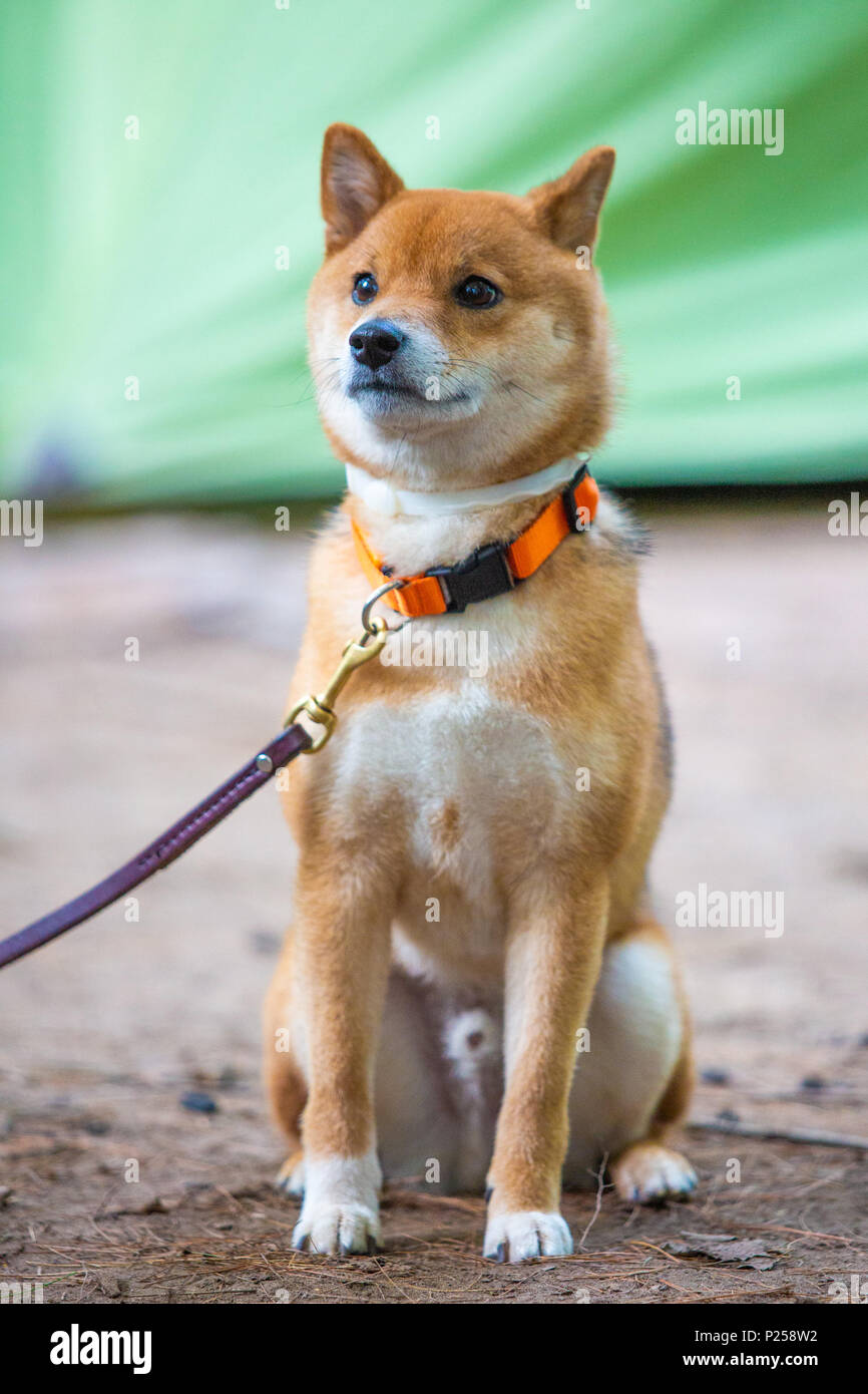 Very happy shiba inu japanese dog on the leash alone - Stock Image