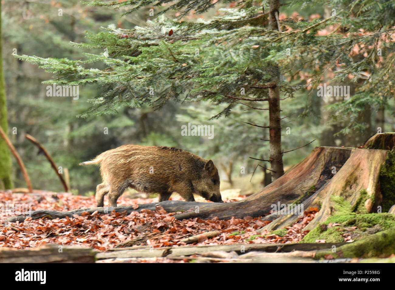 Forest, wild boar, piglet, eat, - Stock Image