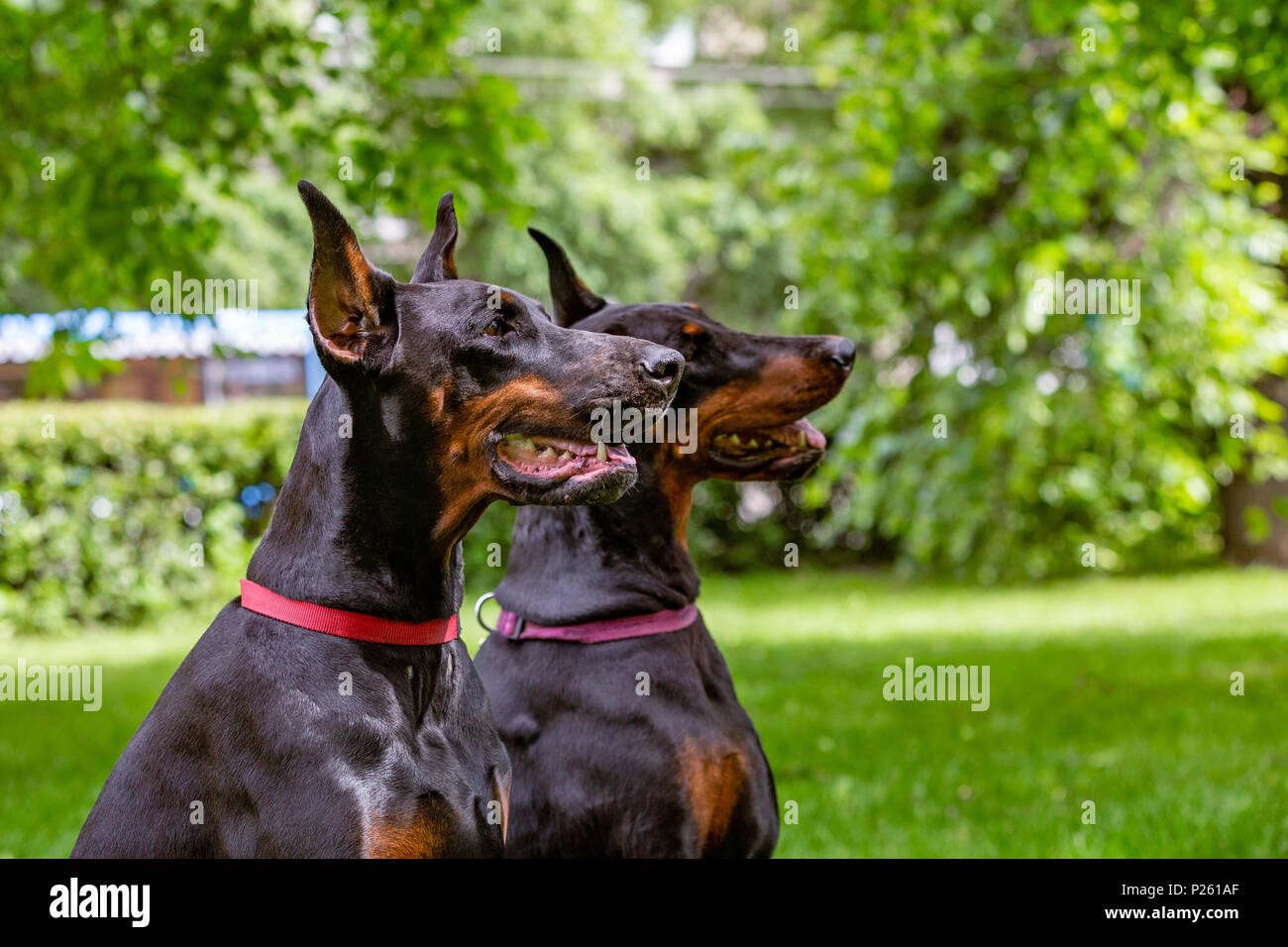 two black dobermans sitting on the grass - Stock Image