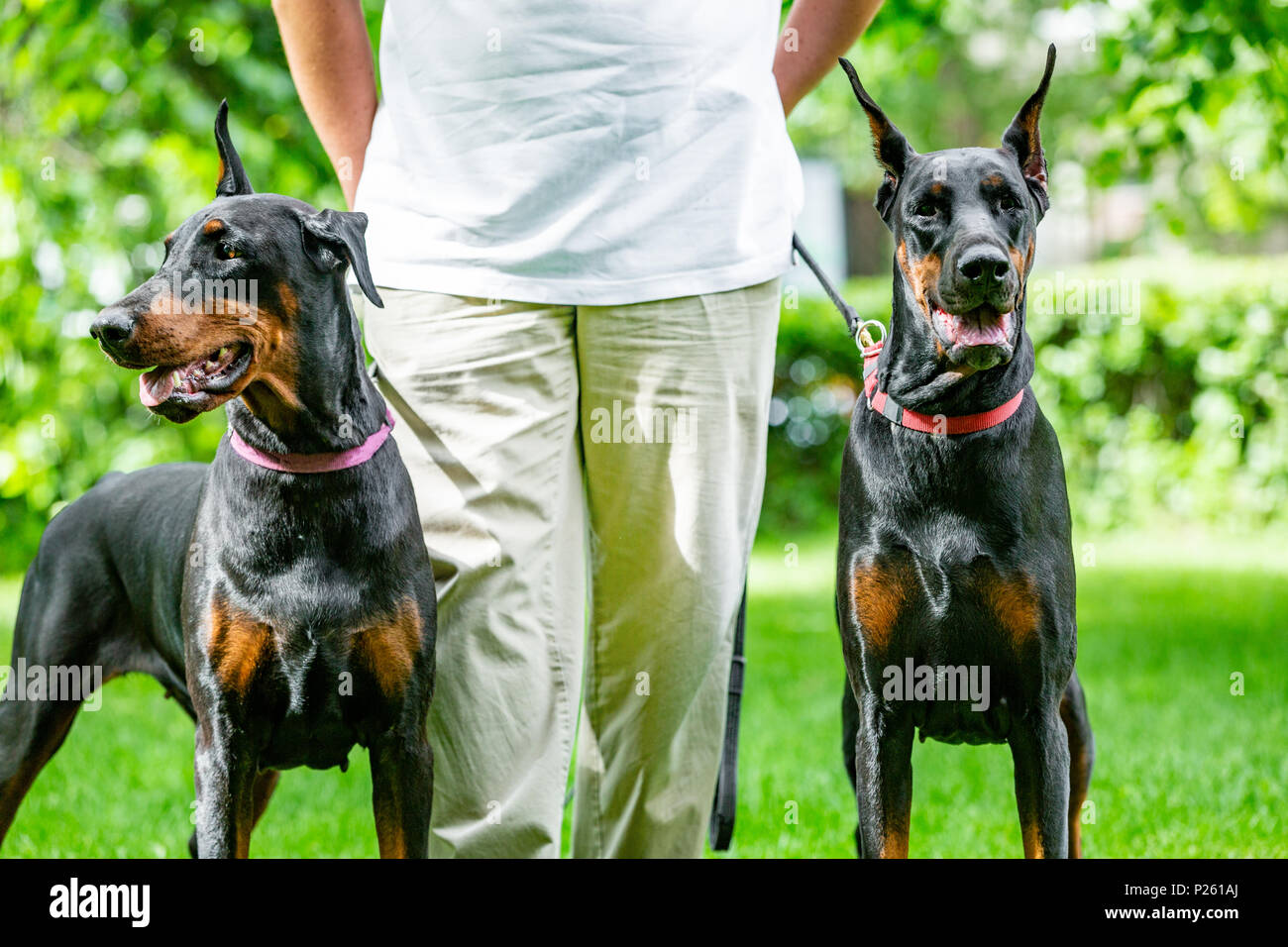 two black dobermans. Man walks in the park two pureblood Dobermanns Stock Photo