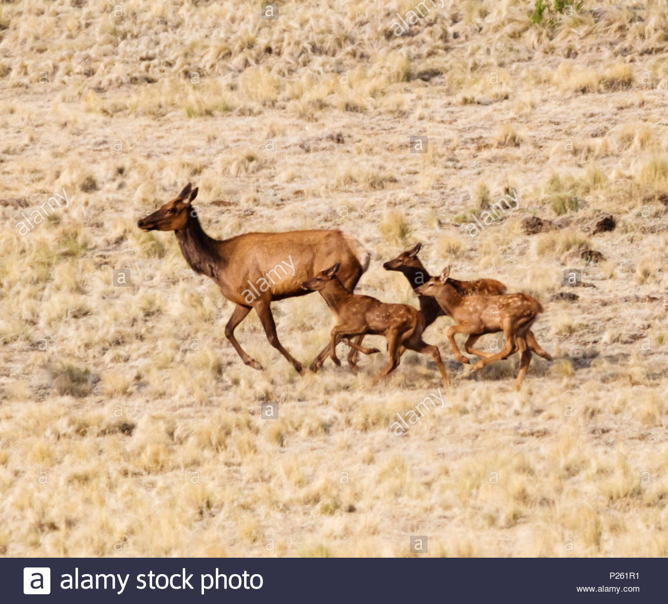 elk-cervus-elaphus-wapiti-cow-and-three-calves-running-in-arizona-usa-P261R1.jpg