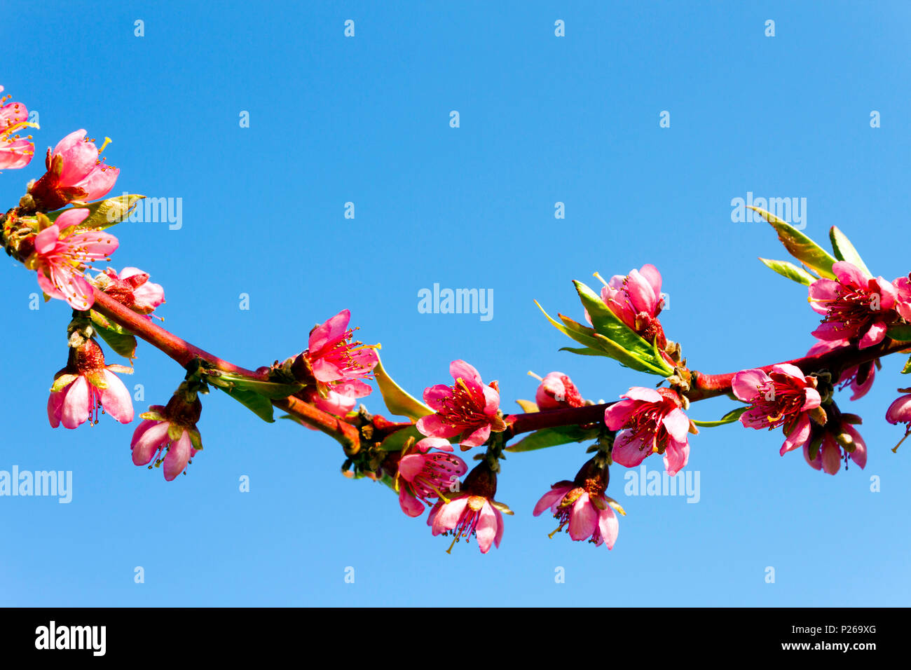 Peach blossom flower with clear blue sky background in an orchard in the Okanagan Valley, British Columbia, Canada. - Stock Image