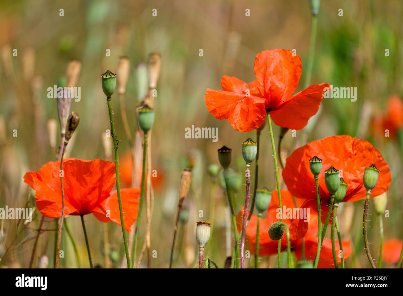 Red poppyseed blossoms in a field - Stock Image