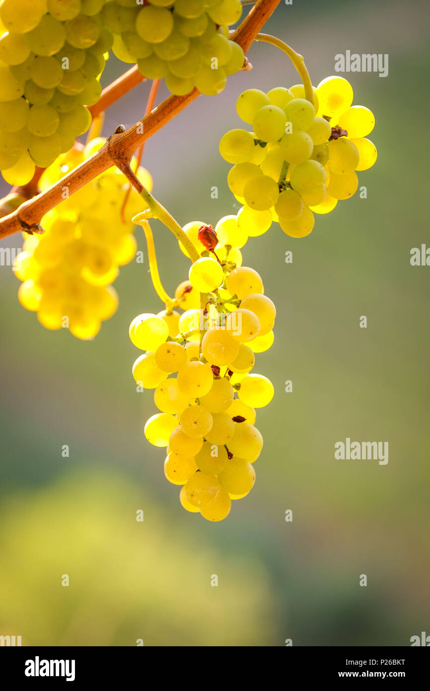 mellow Riesling grapes on the grapevine, back light shines through - Stock Image