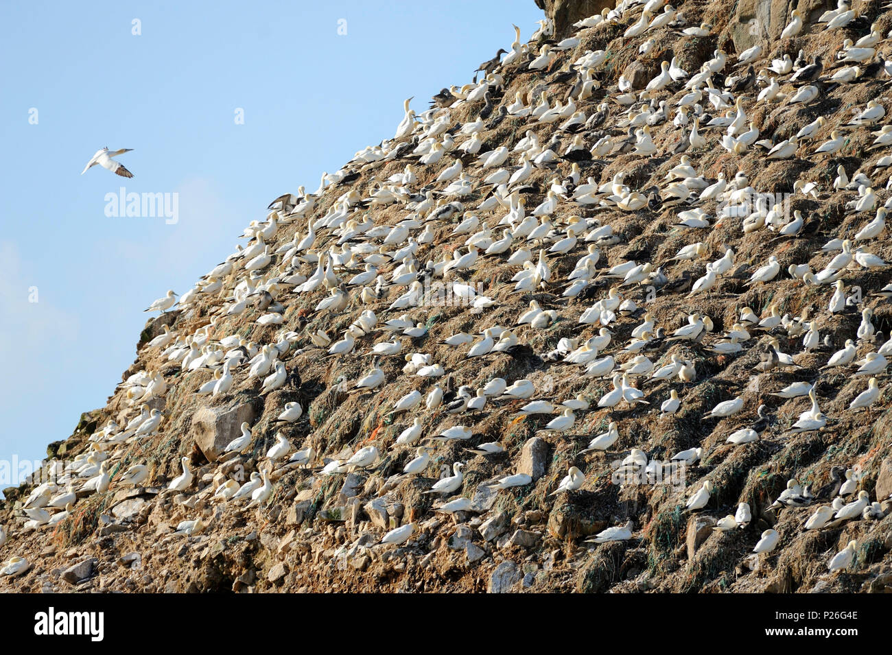 Ile Rou, Reserve Naturel des sept-iles, Brittany, France. Colony of northern gannet. - Stock Image