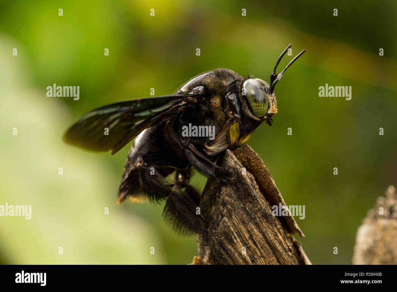 Black bumble bee resting on tree branch Stock Photo