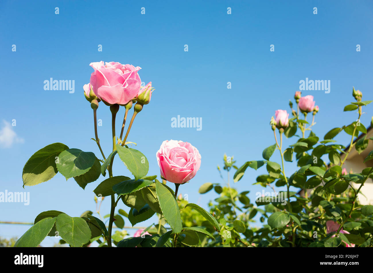 Beautiful Pink Rose Flowers And Blue Sky Nice Details Of Roses On