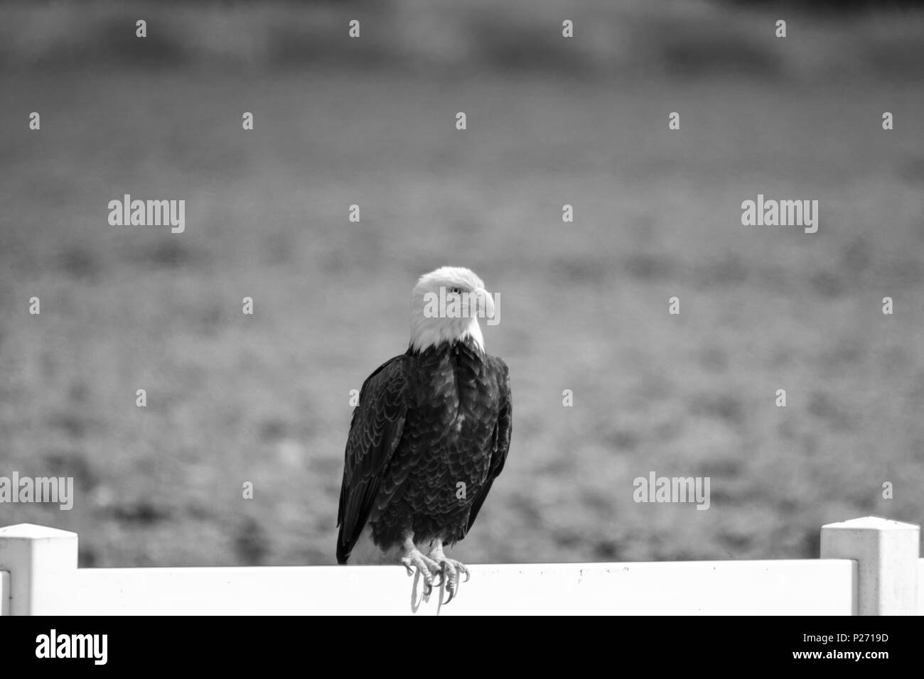 Perch Black And White Stock Photos Images Alamy Bald Eagle Diagram Free Download Wiring Diagrams Pictures A Perched On Fence Image