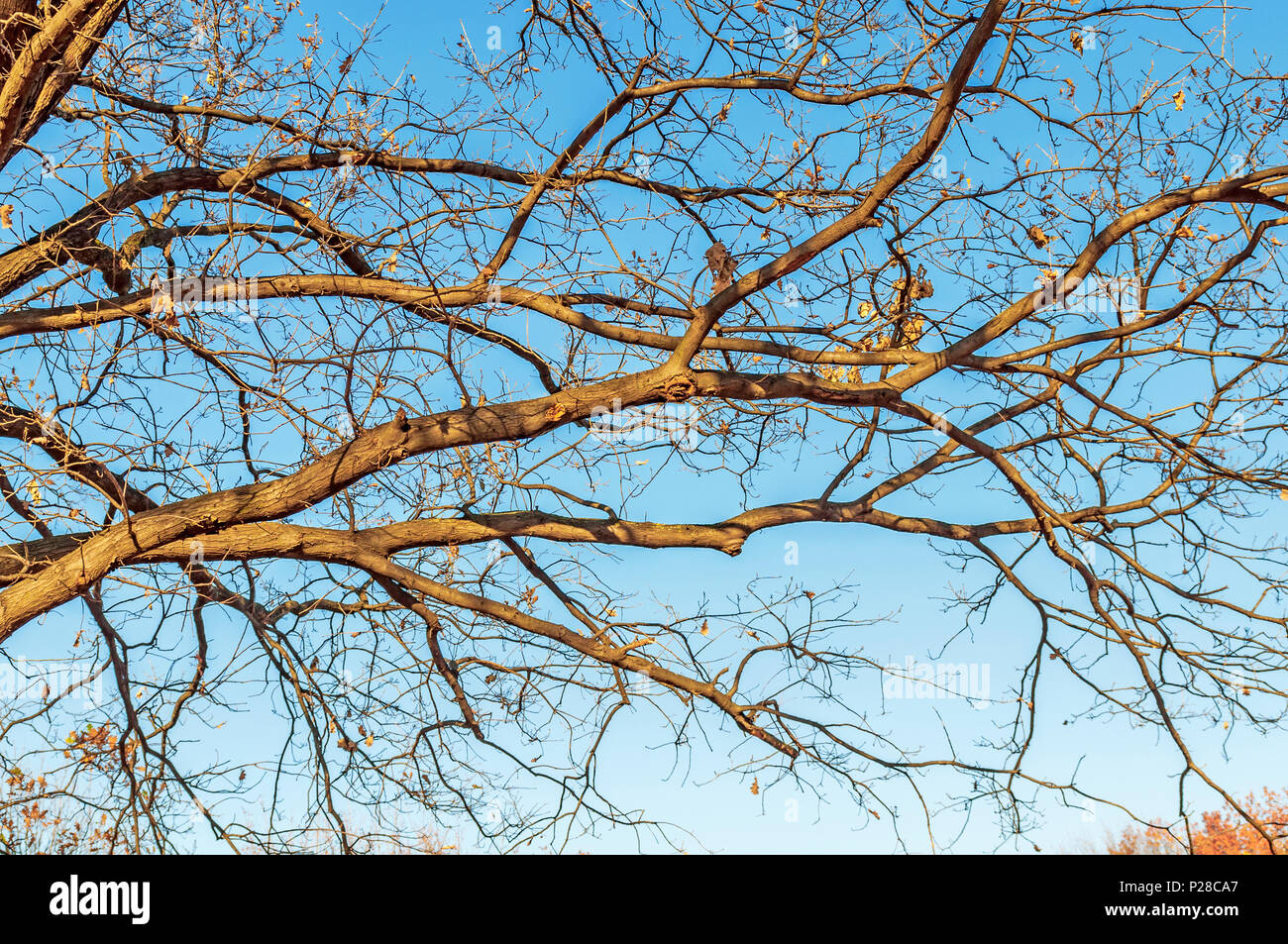 Huge tree, branches out in all directions, without leafs, blue sky, view from below - Stock Image
