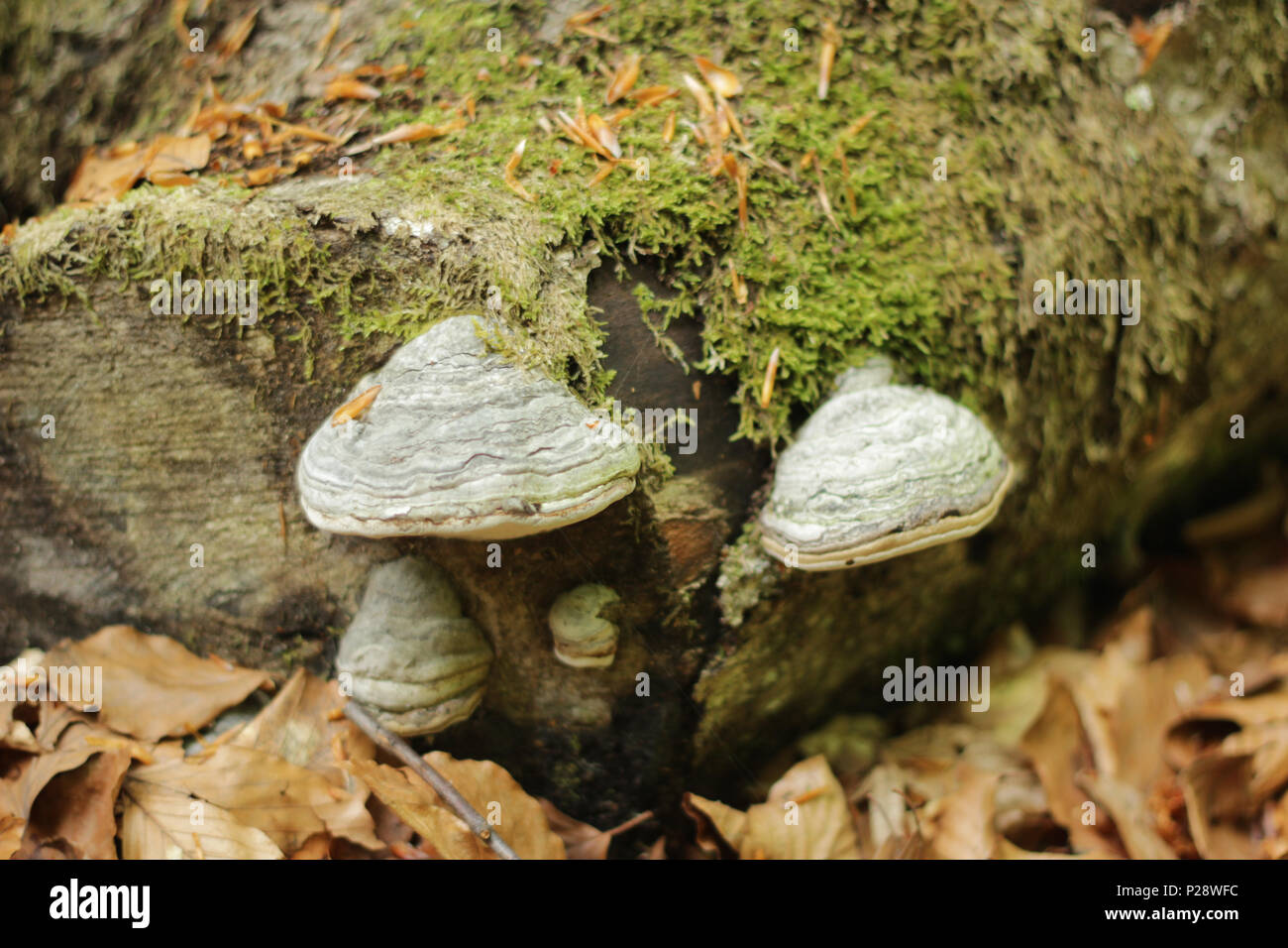 Moss on green log in forest. - Stock Image