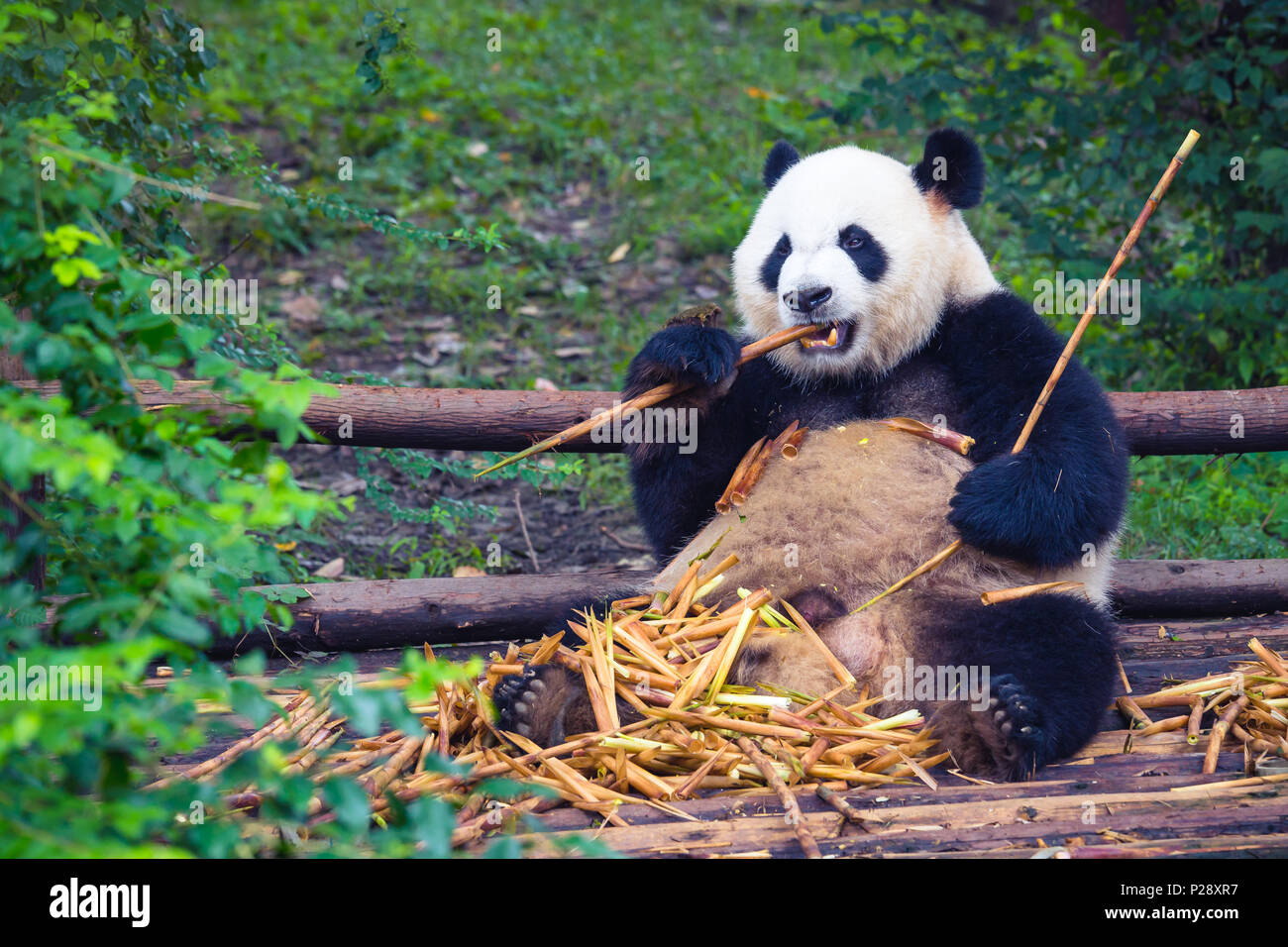 Giant Panda eating bamboo lying down on wood in Chengdu, Sichuan Province, China - Stock Image