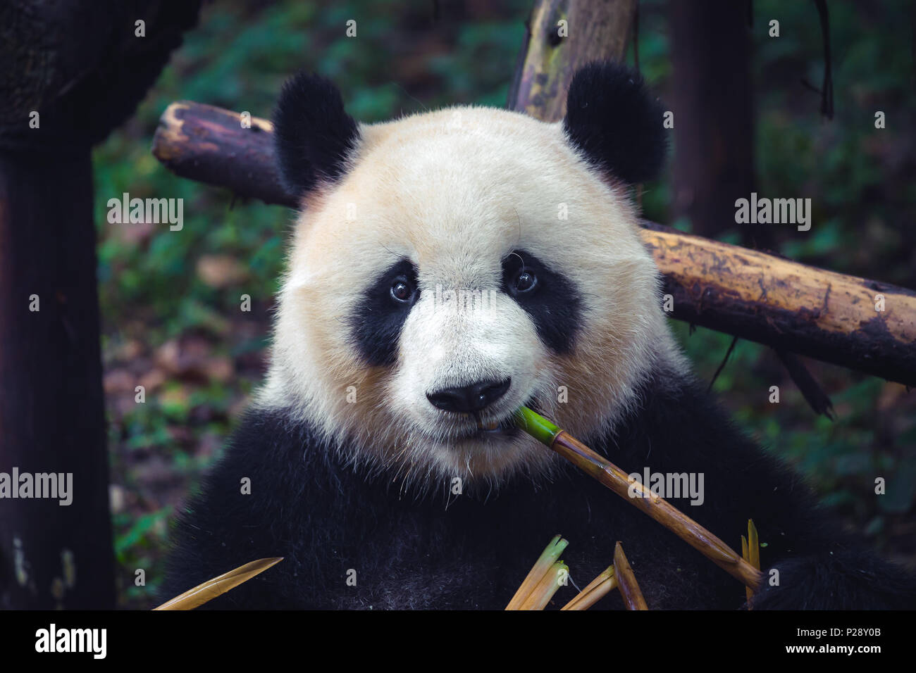 One adult giant panda eating a bamboo stick in close up portrait - Stock Image