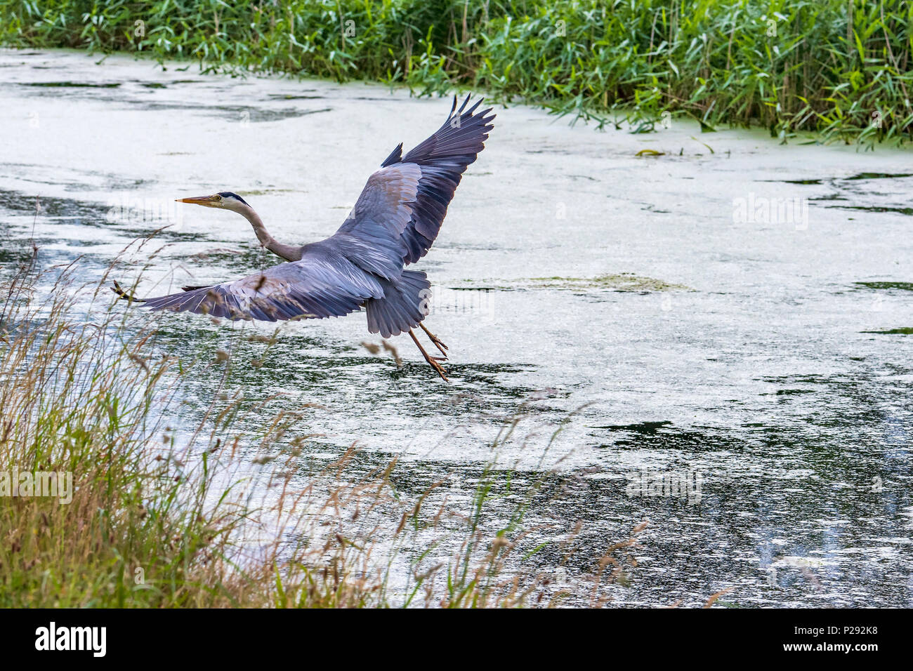 A Heron by a canal. The herons are the long-legged freshwater and coastal birds in the family Ardeidae - Stock Image